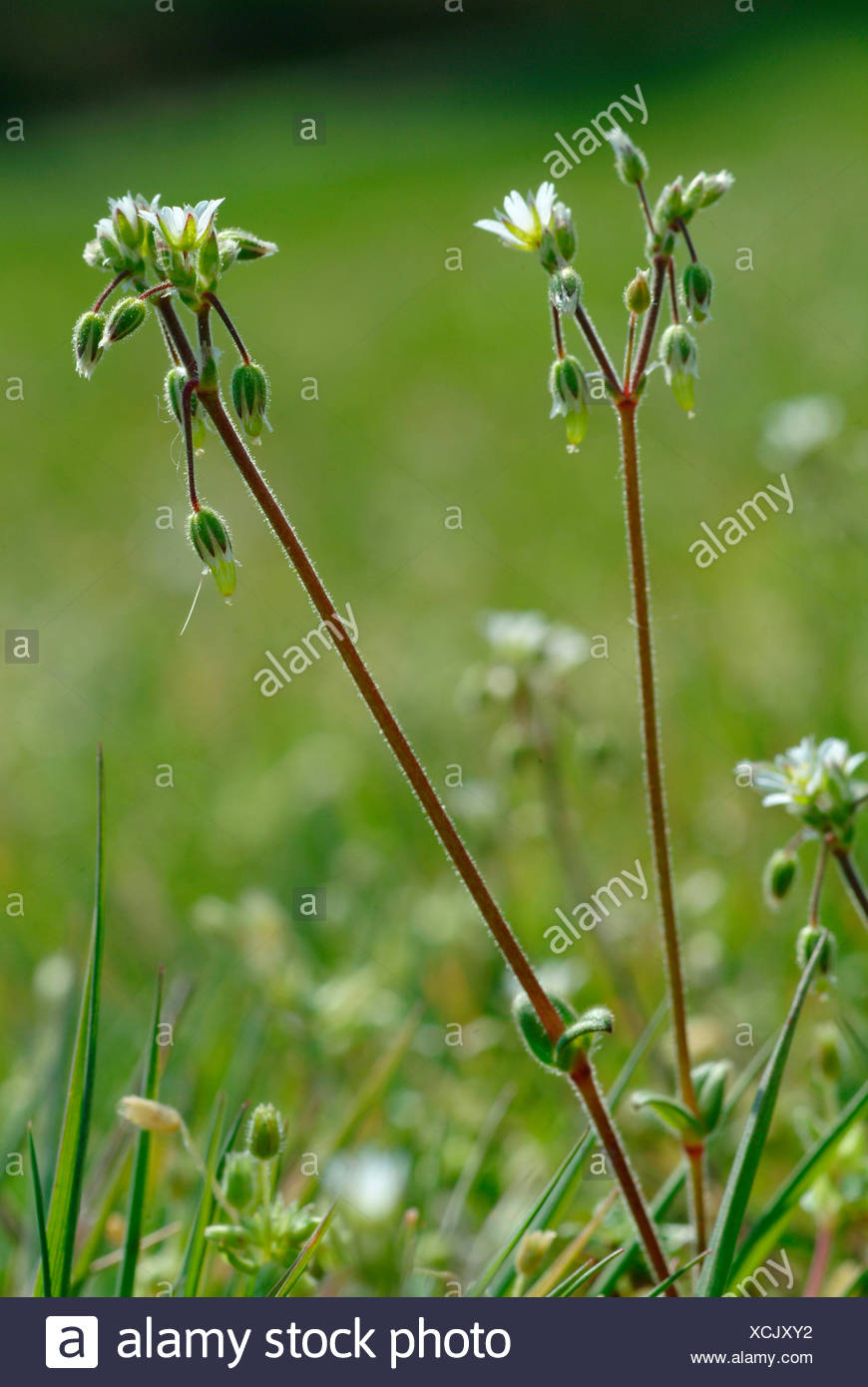 jagged chickweed (Holosteum umbellatum), blooming, Germany - Stock Image