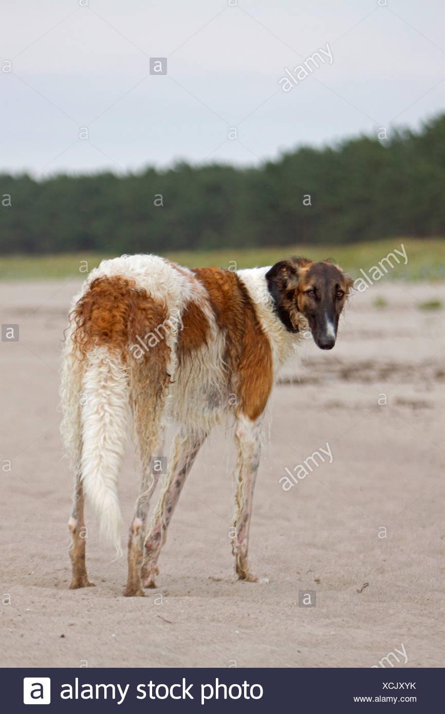 Barzoi dog standing Stock Photo