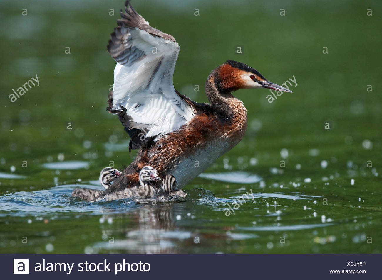 Great crested grebe stretching wings with chicks on lake UK - Stock Image