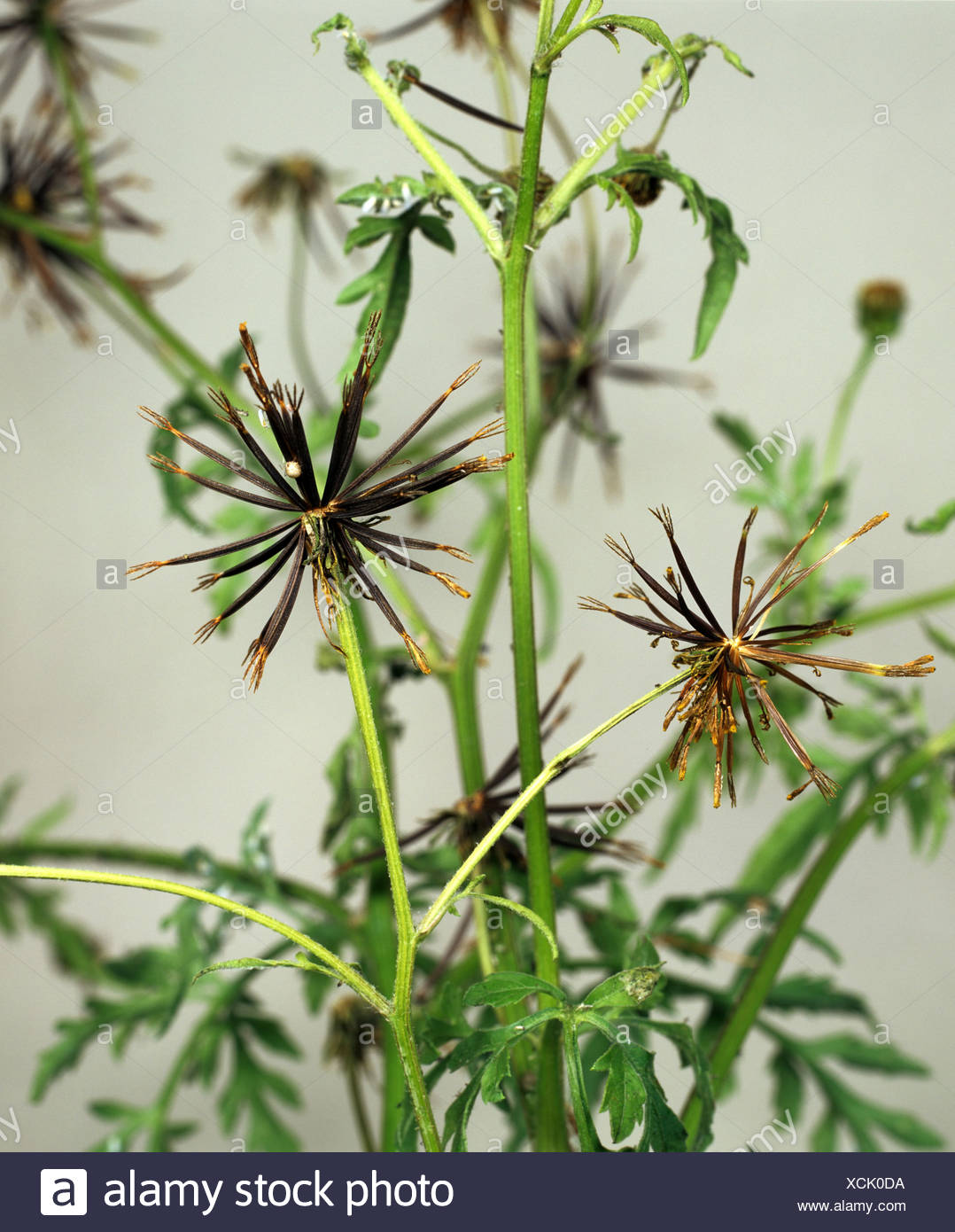 Spanish needles (Bidens bipinnata) seeding plant with spikey seedheads Stock Photo