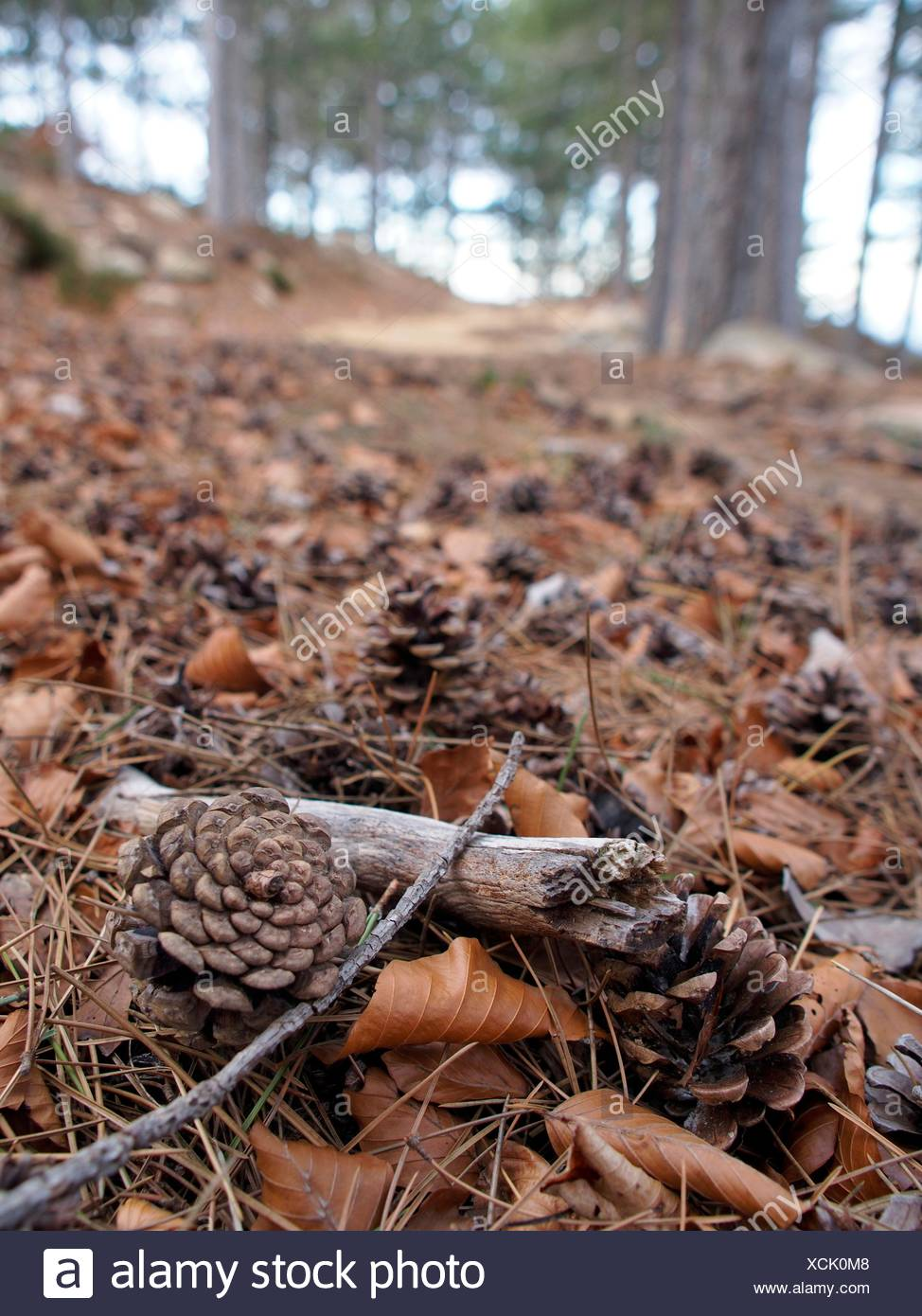 Pinecones at beech forest. Montseny Natural Park. Barcelona province, Catalonia, Spain. - Stock Image