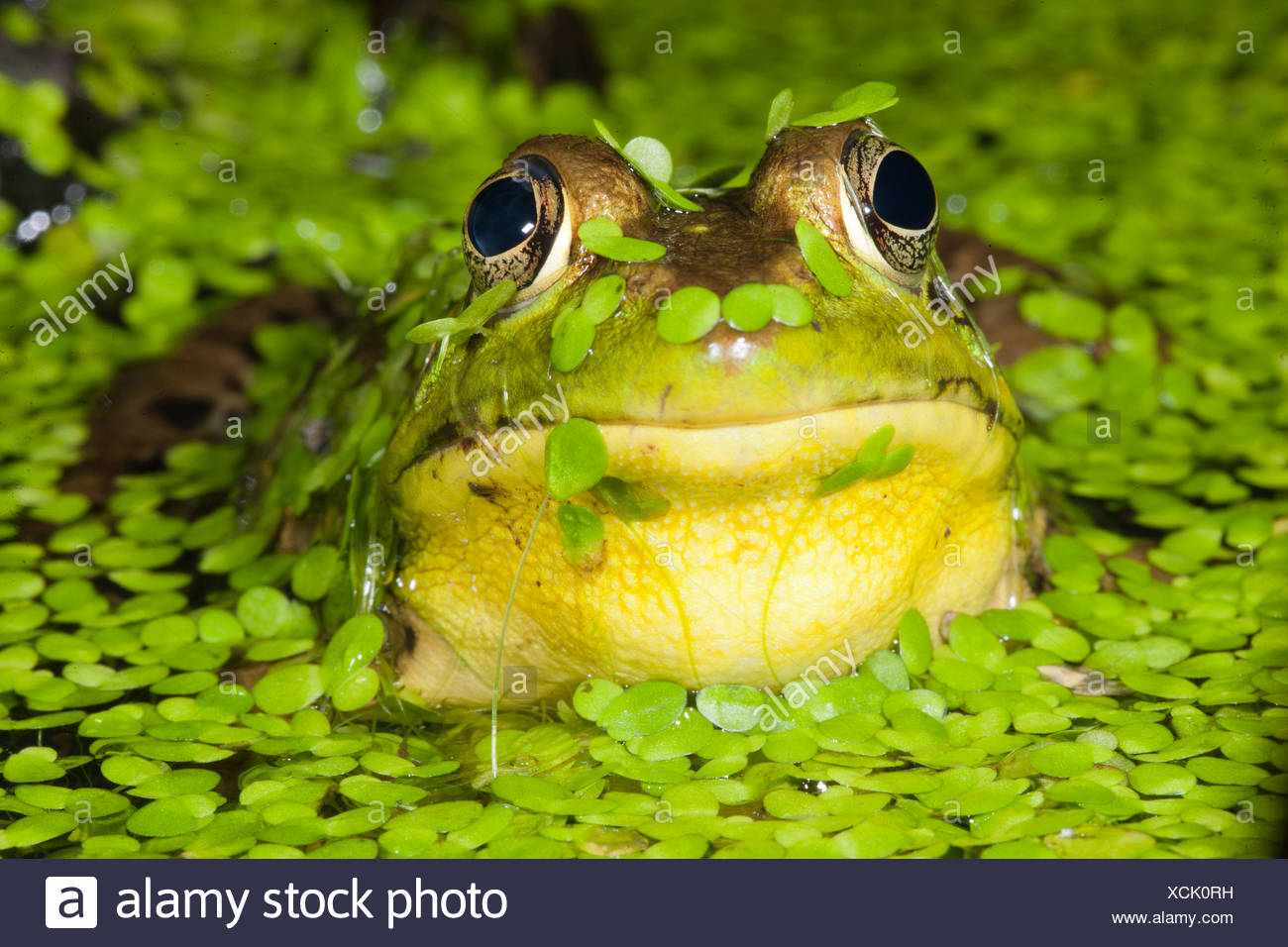 Northern Green Frog in pond, Central PA, USA (Rana clamitans) - Stock Image