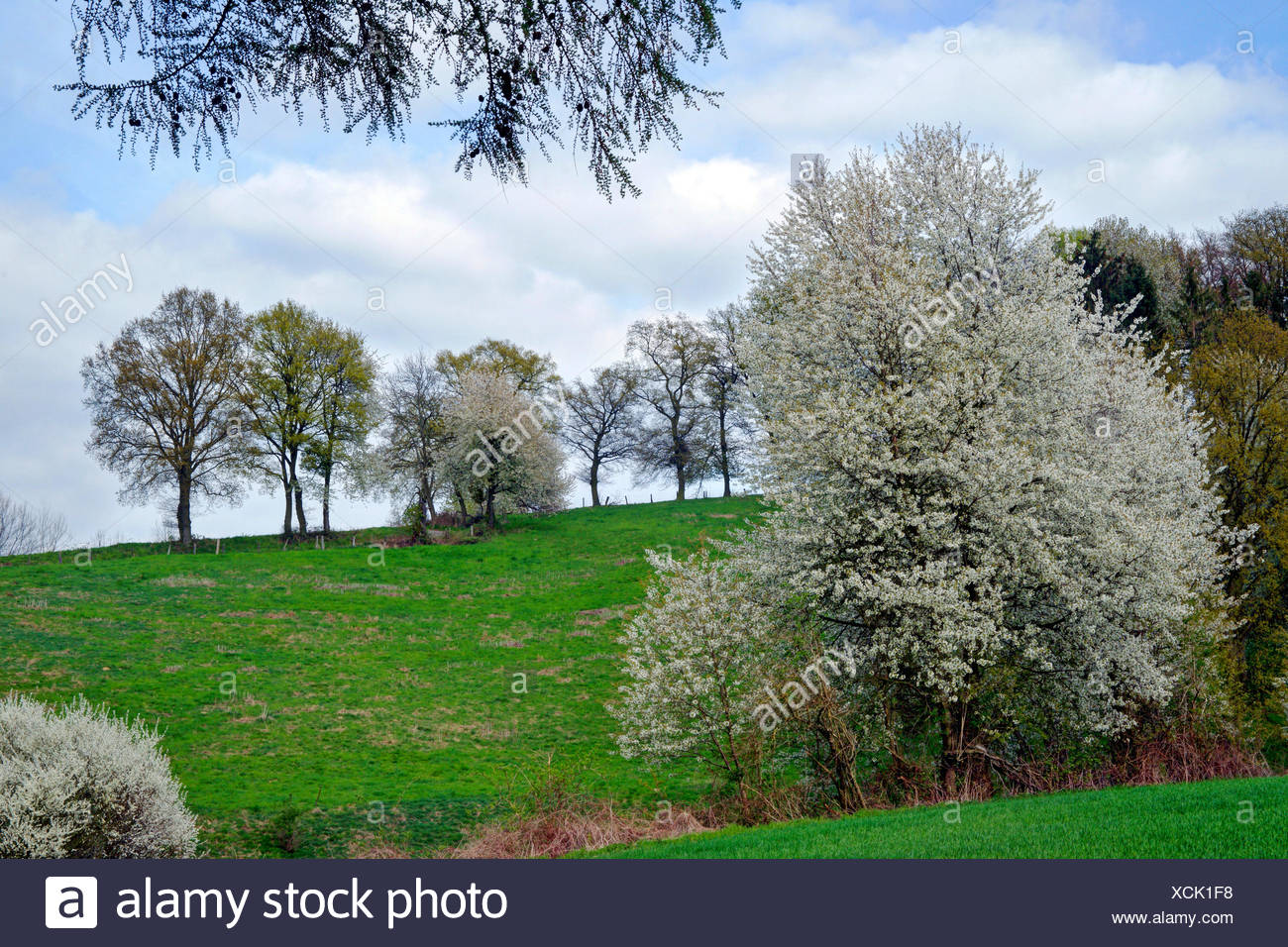 Wild cherry, Sweet cherry, gean, mazzard (Prunus avium), blooming blackthorns and wild cherry trees, Germany, North Rhine-Westphalia, Eifel - Stock Image