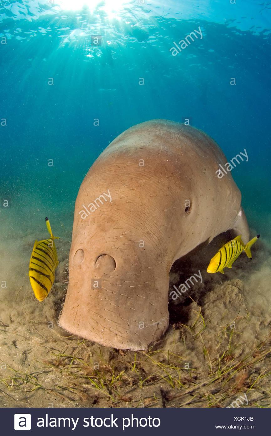 Dugong with sunburst, Egypt - Stock Image