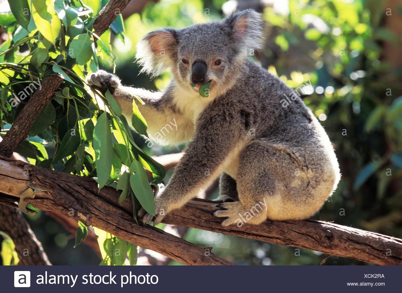 KOALA phascolarctos cinereus, ADULT EATING EUCALYPTUS LEAF, AUSTRALIA - Stock Image