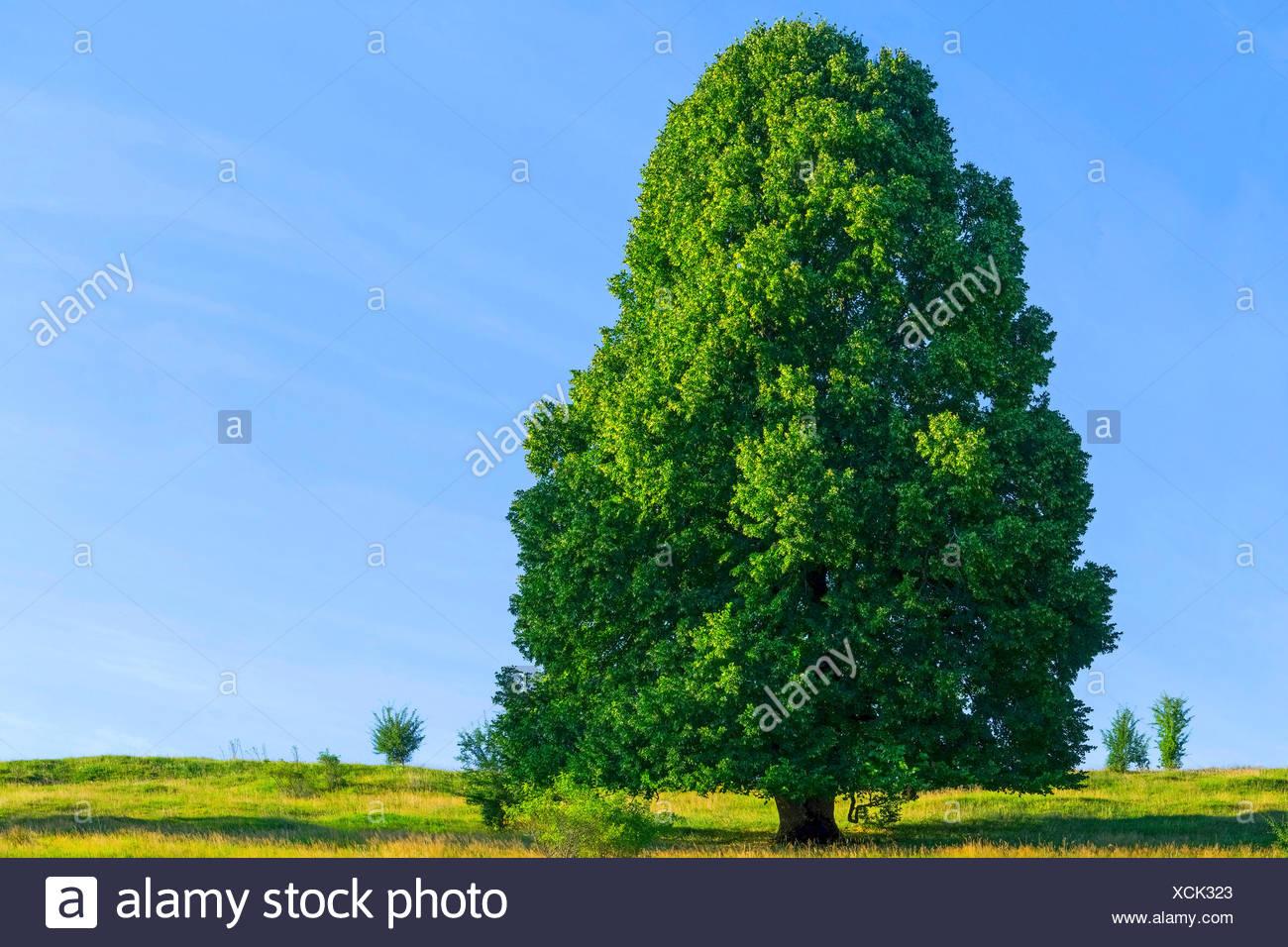 Linde (Tilia spec.), einzeln stehender Lindenbaum, Deutschland, Bayern, Oberbayern | basswood, linden, lime tree (Tilia spec.),  - Stock Image