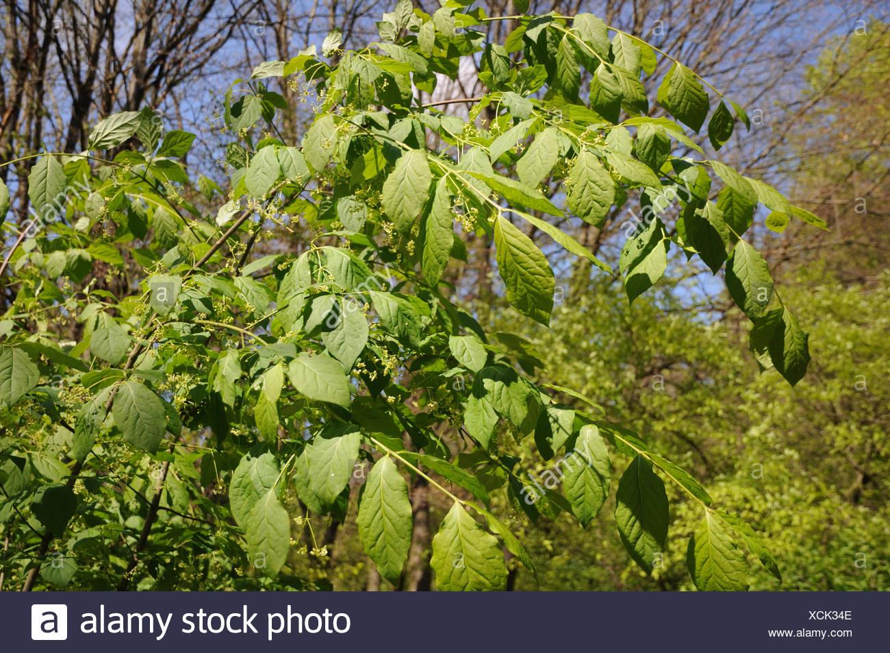Euonymus latifolius, Largeleaved Spindle Stock Photo