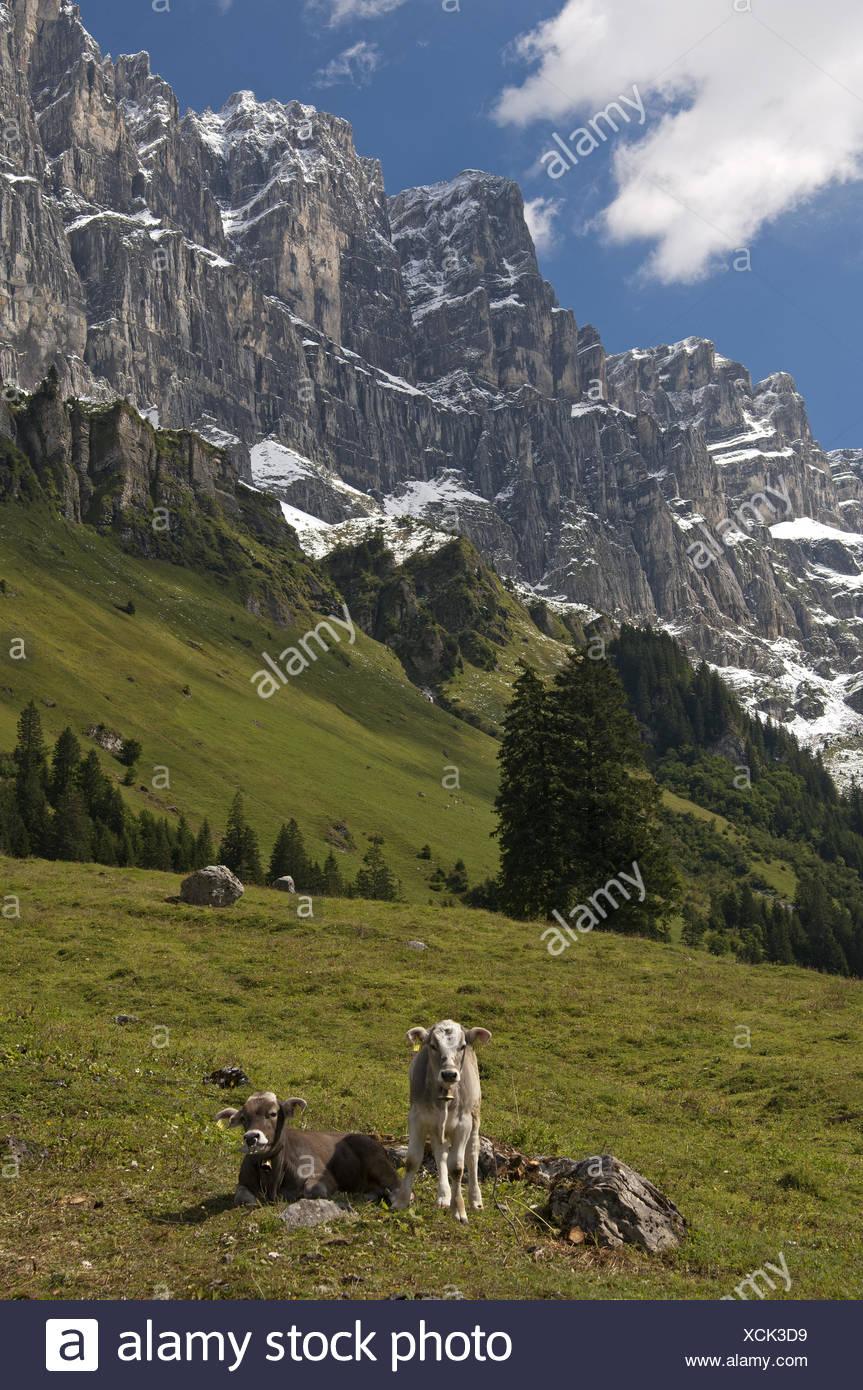Calves on an alpine pasture, Uri, Switzerland Stock Photo