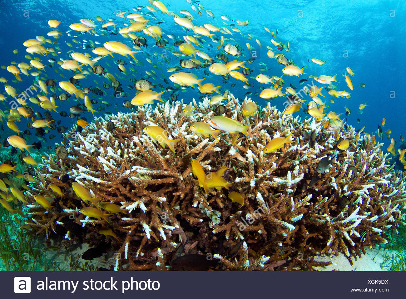 Anthias, Anthiinae, schooling over Staghorn coral, Acropora cervicornis, on a shallow seagrass bed. - Stock Image