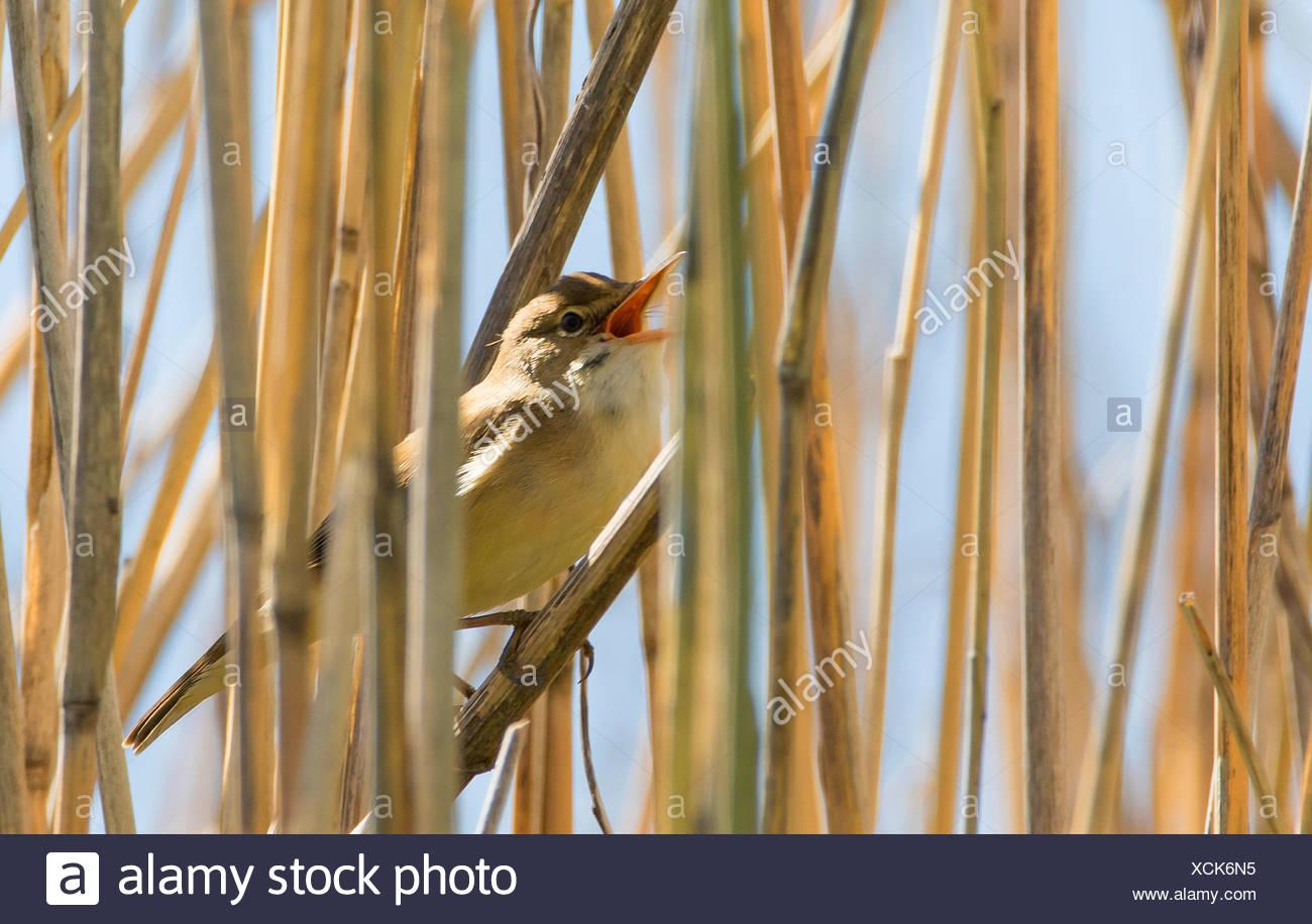 marsh warbler (Acrocephalus palustris), singing in Reed, Germany Stock Photo