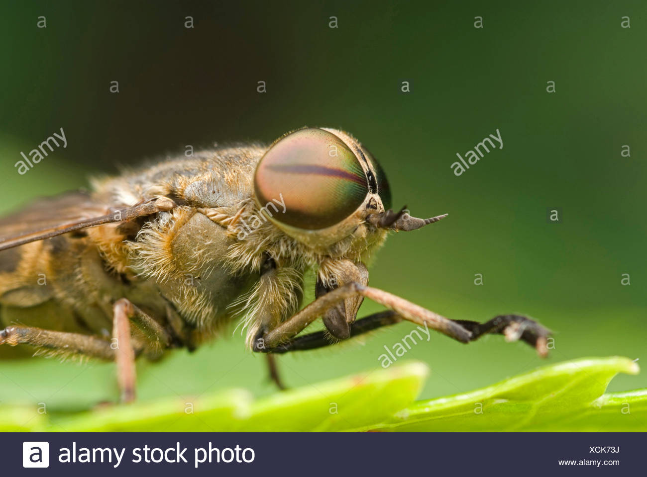 Band-eyed Brown Horsefly (Tabanus bromius), sitting on a leaf, Germany - Stock Image
