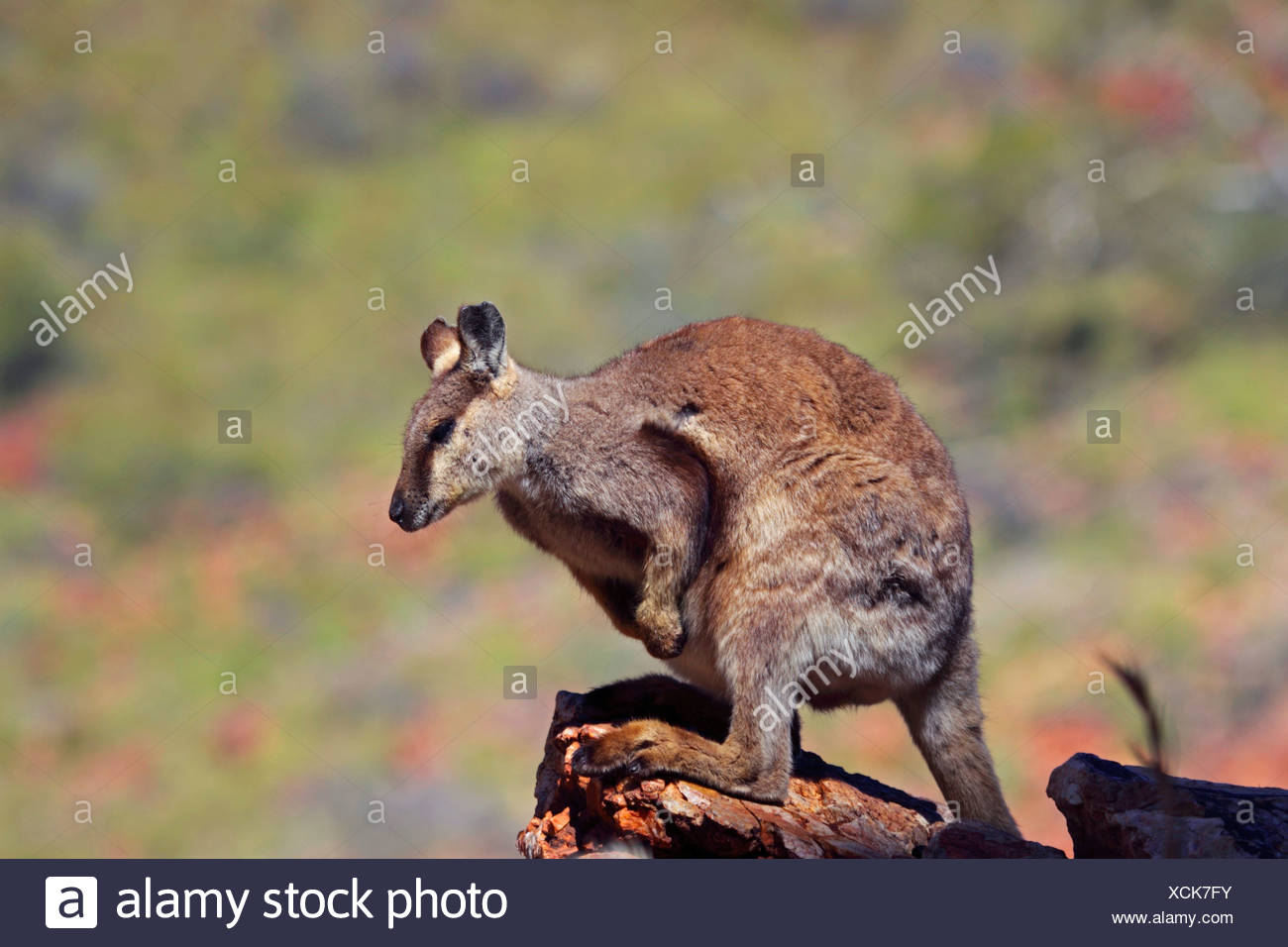 Black-footed rock wallaby (Petrogale lateralis), sitting on a rock, Australia, Northern Territory, Western MacDonnell Ranges, Ormiston Gorge - Stock Image