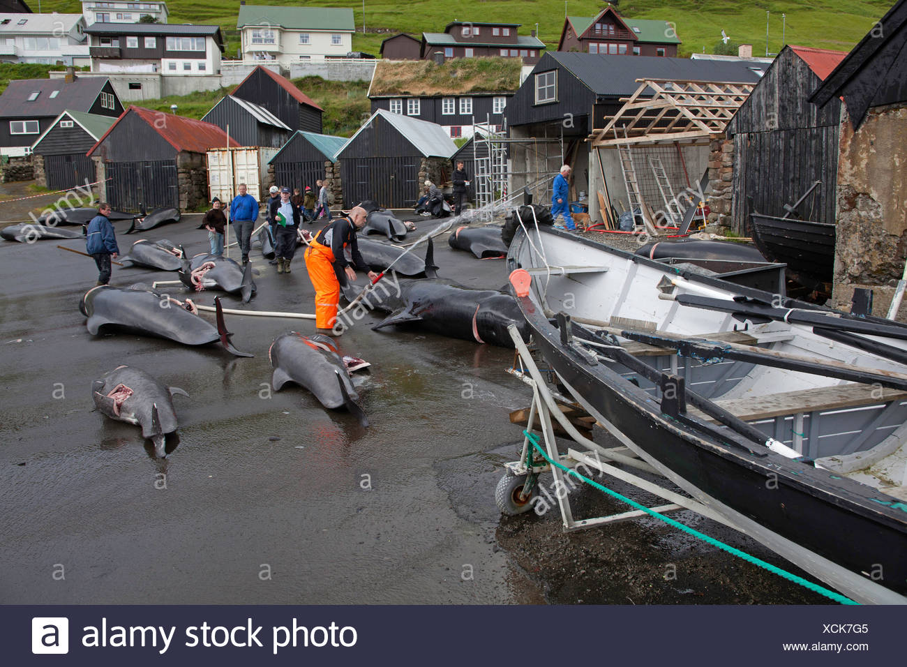 long-finned pilot whale, pothead whale, caaing whale, longfin pilot whale, Atlantic pilot whale, blackfish (Globicephala melas, Globicephala melaena), lots of animals lying on the asphalt ground of a whaling base being carved up, Faroe Islands - Stock Image