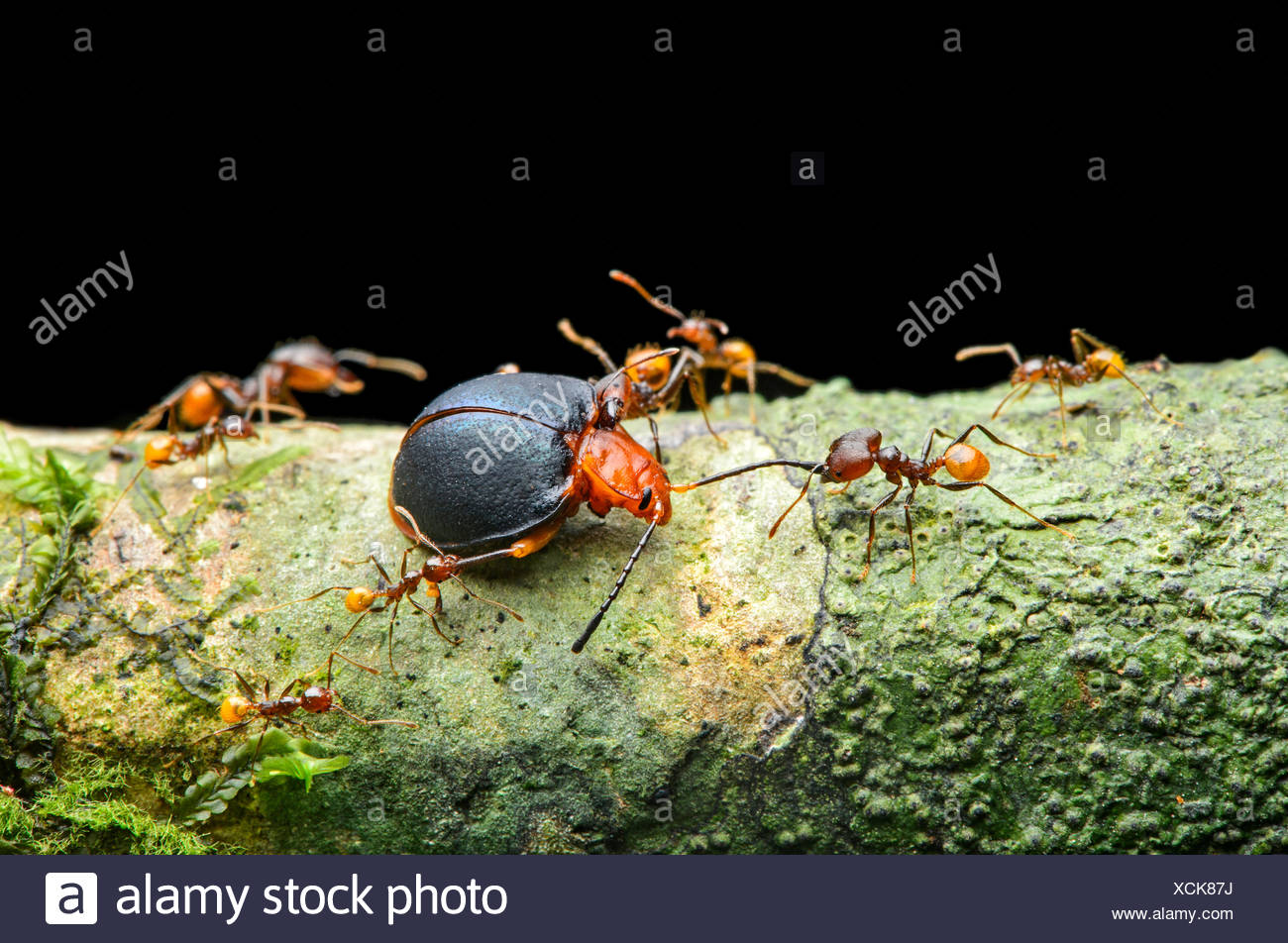 Ant (Pheidole sp.), worker attacking a fungus beetle (Endomychidae), Amazon rainforest, Yasuni National Park, Ecuador - Stock Image