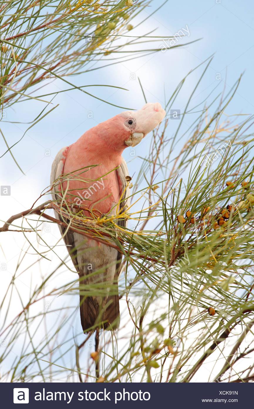 Australia, Northern Territory, Uluru, Galah Bird on branch - Stock Image