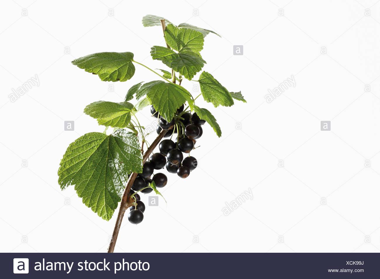 Black currants (Ribes nigrum) on branch Stock Photo