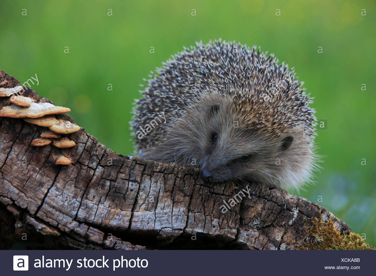Tree stump, common hedgehog, Erinaceus europaeus, European hedgehog, spring, wood, hedgehog, insectivore, Switzerland, stings, p - Stock Image