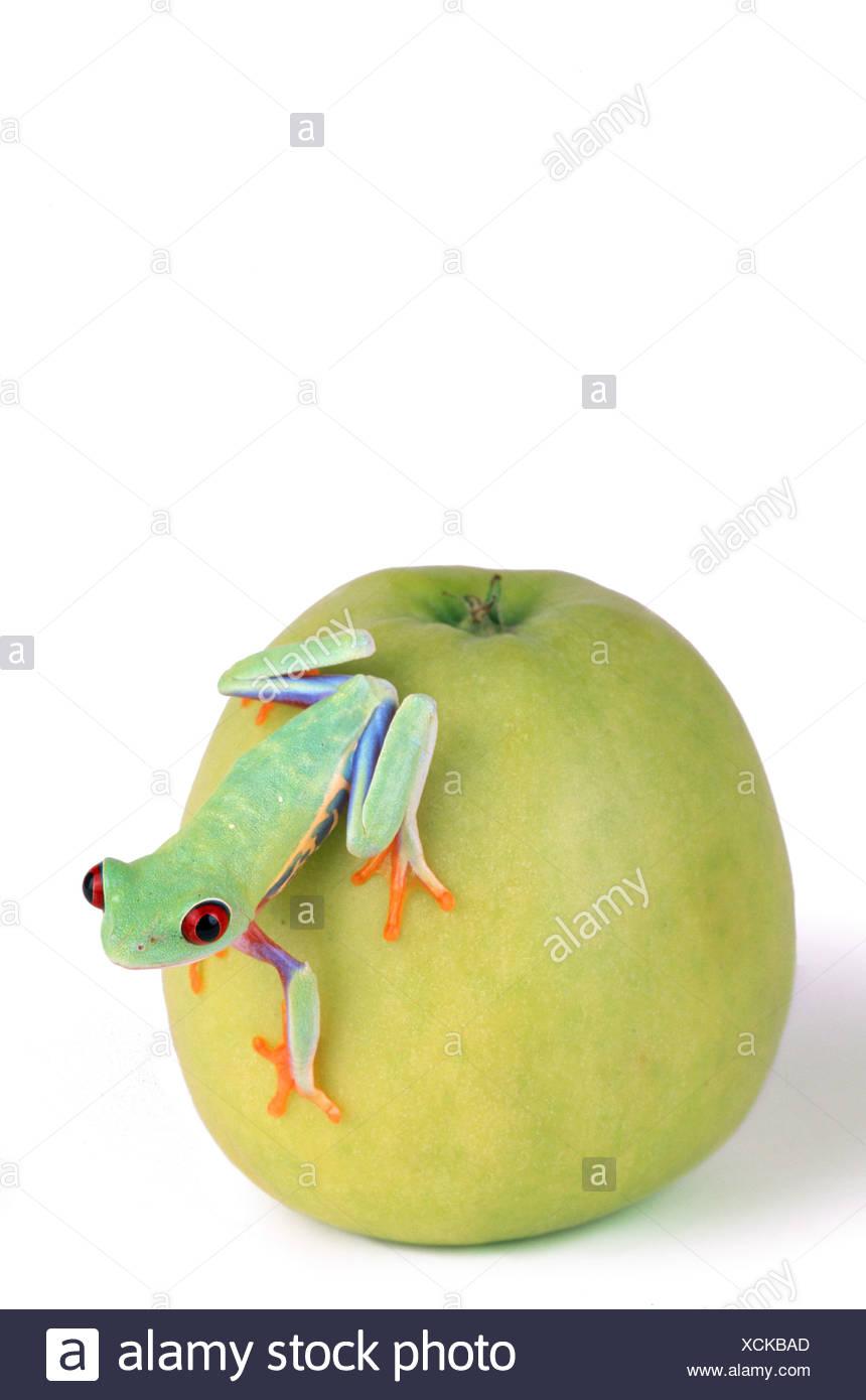 red-eyed treefrog (Agalychnis callidryas), on a green apple Stock Photo
