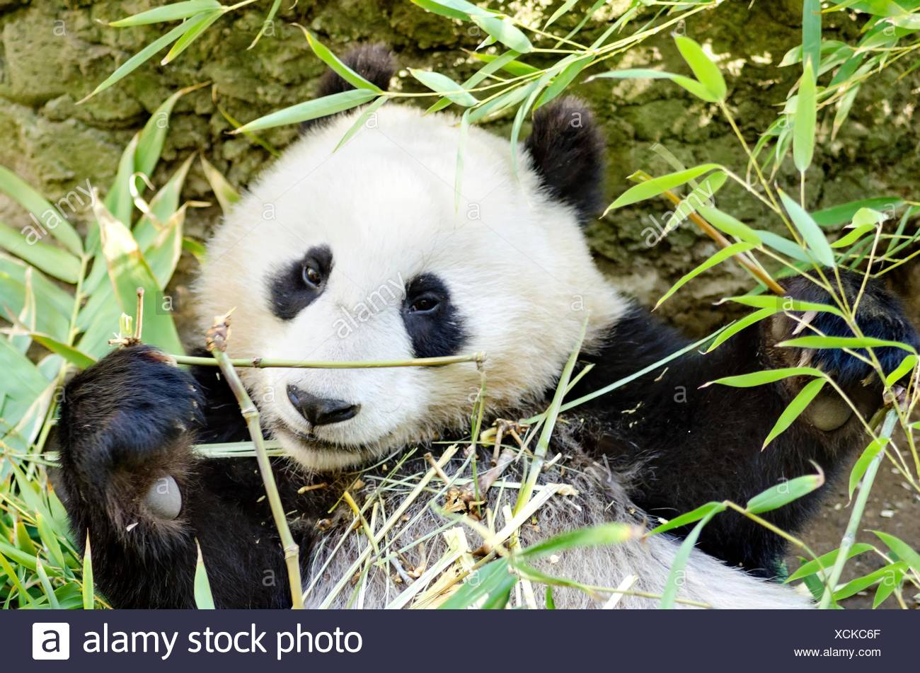 A Cute Adorable Lazy Baby Giant Panda Bear Eating Bamboo The Ailuropoda Melanoleuca Is Distinct By The Large Black Patches Around Its Eyes Over The Ears And Across Its Round Body Stock