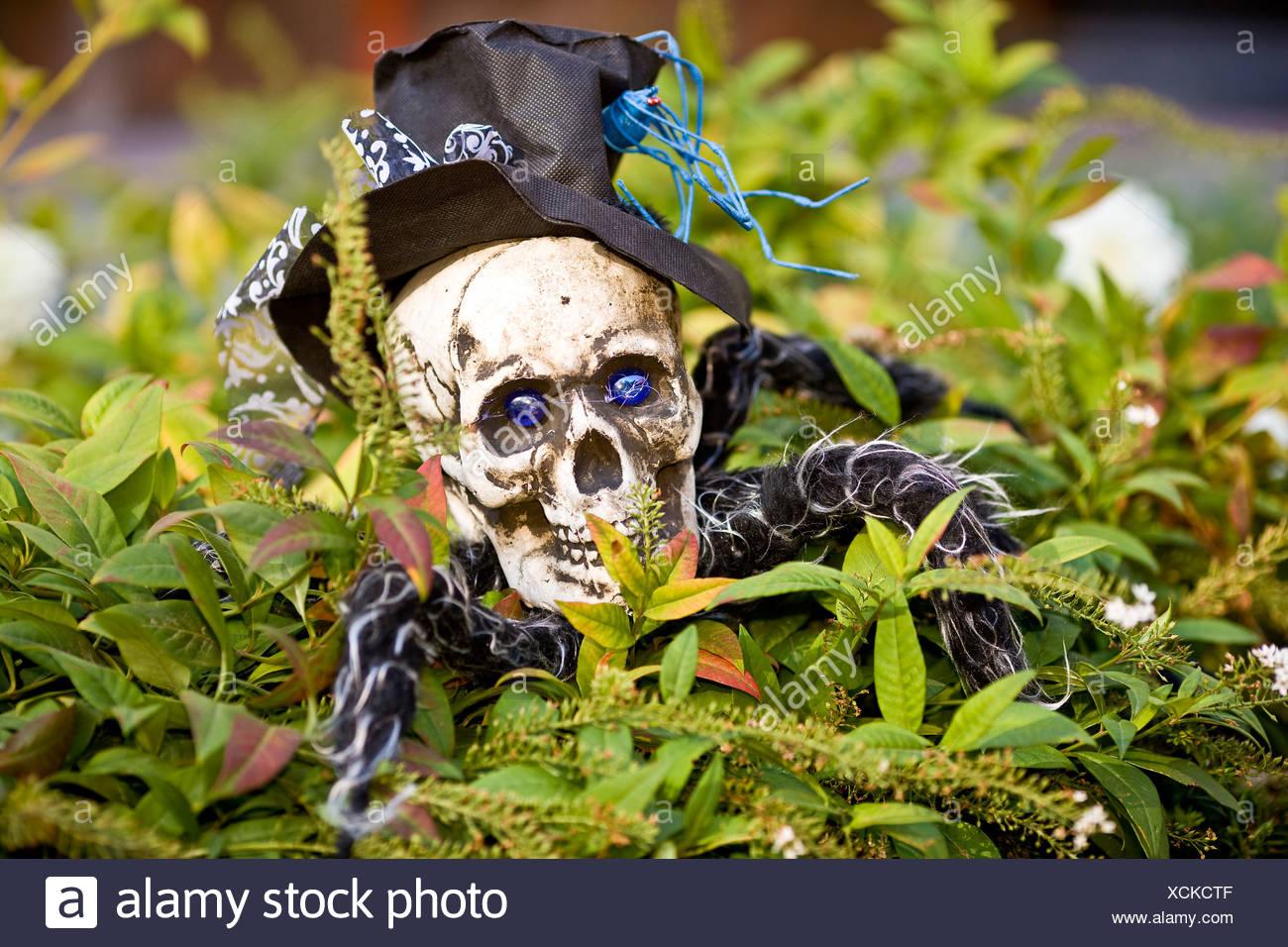 Gigantic Halloween spider in the garden hedge - Stock Image
