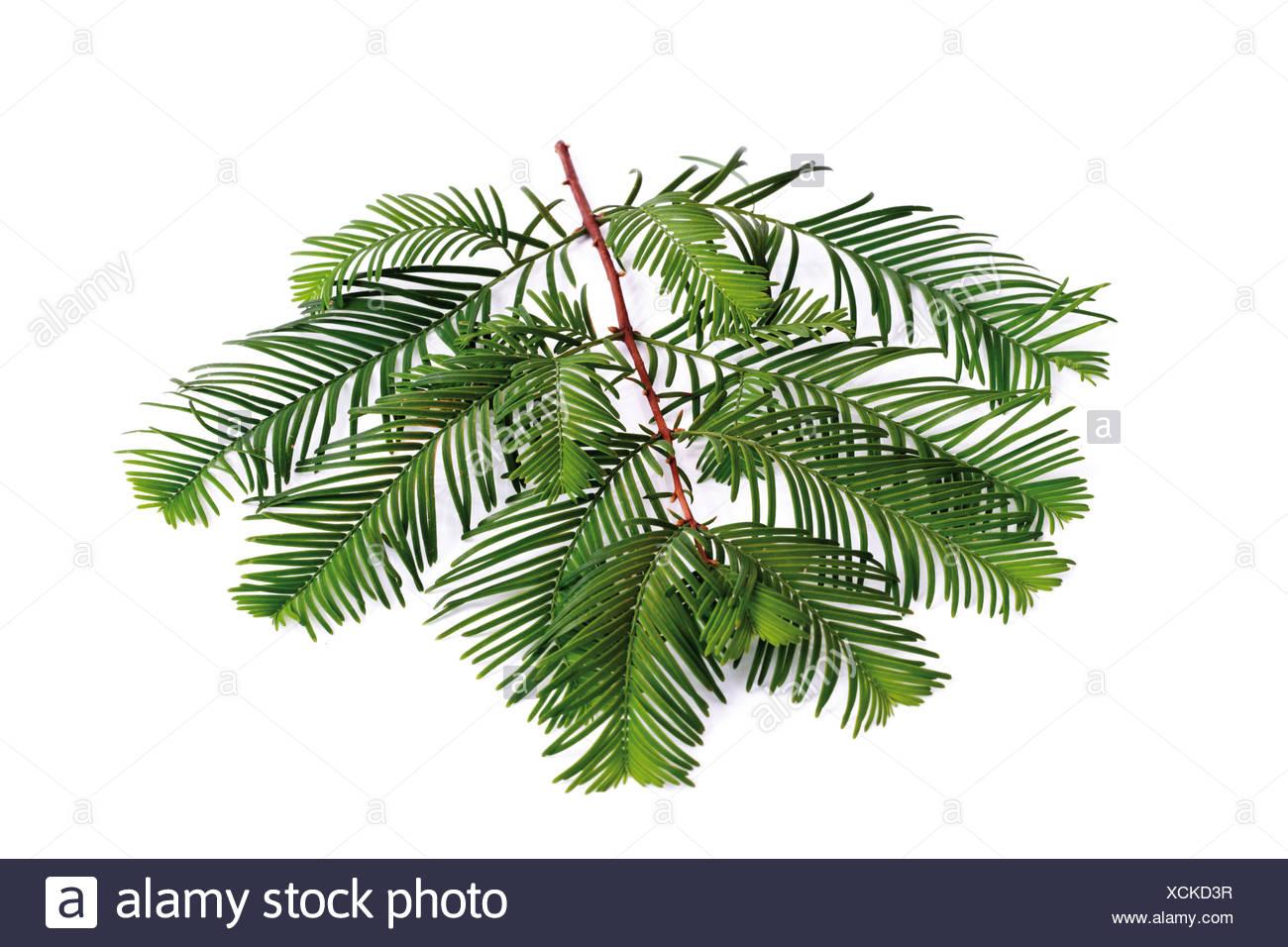 Yew twig (Taxus baccata) - Stock Image