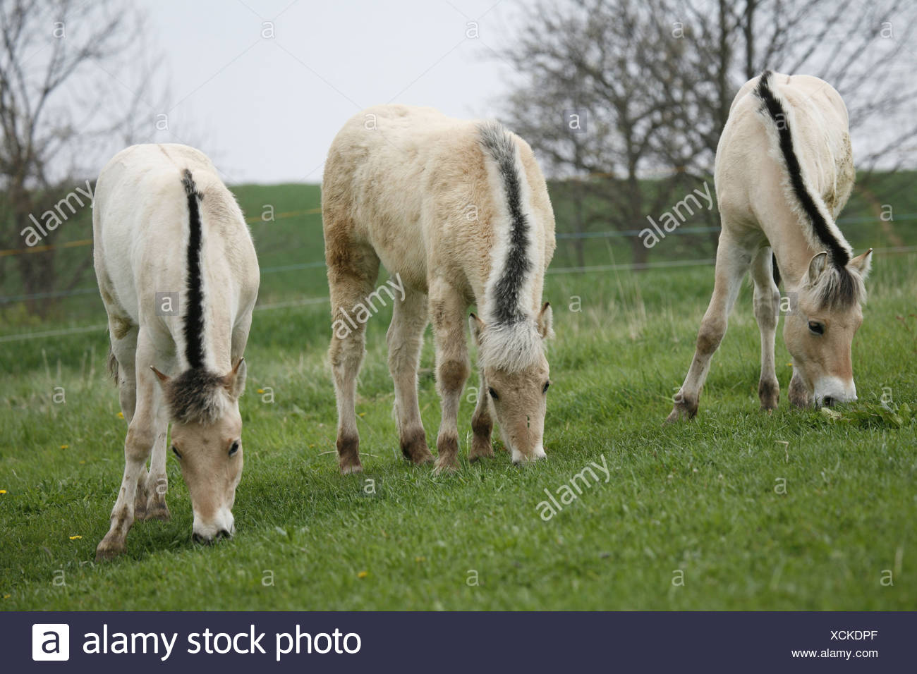 junge Norweger / young horses Stock Photo
