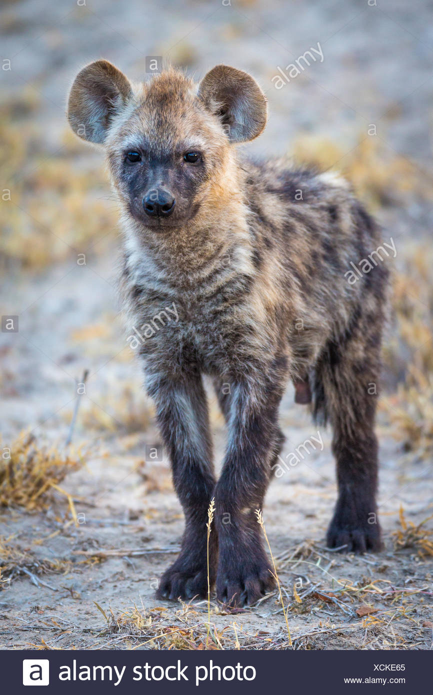 Young spotted laughing hyena (Crocuta crocuta), Timbavati Game Reserve, South Africa Stock Photo