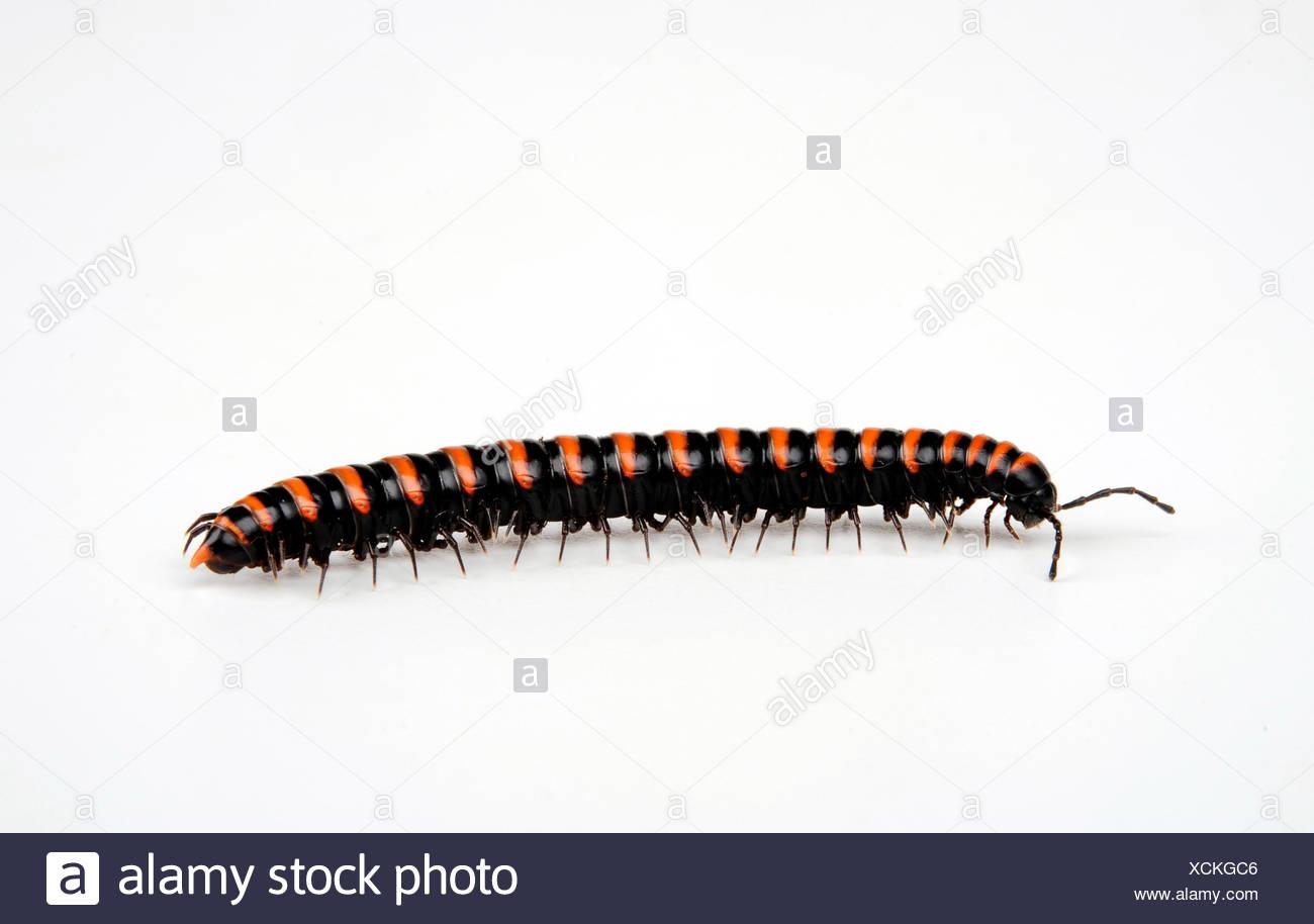 diplopods, myriapodians (Polydesmida), cut-out - Stock Image