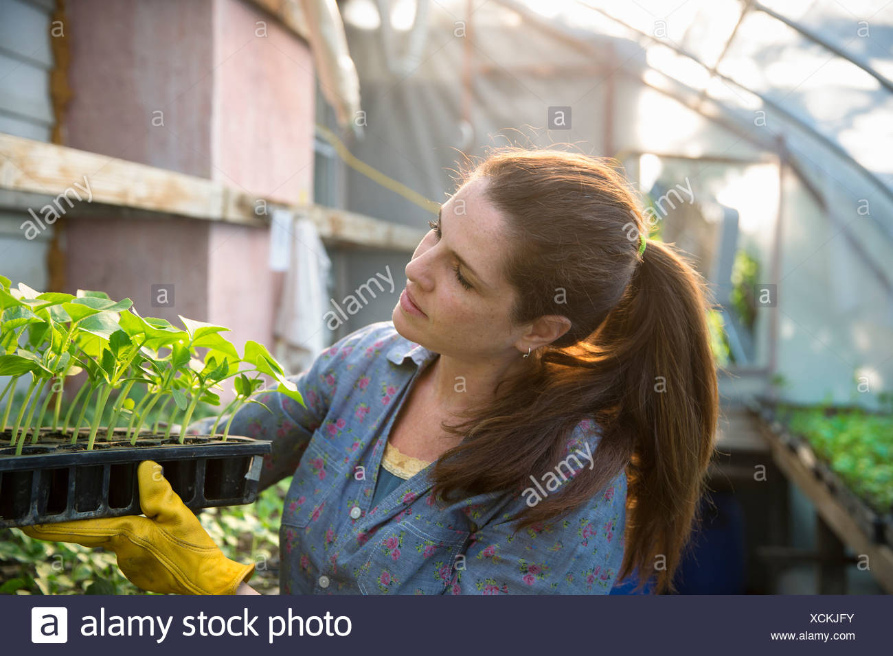 On the farm. A woman carrying trays of young organically grown seedlings, bean plants, out of a glasshouse. - Stock Image