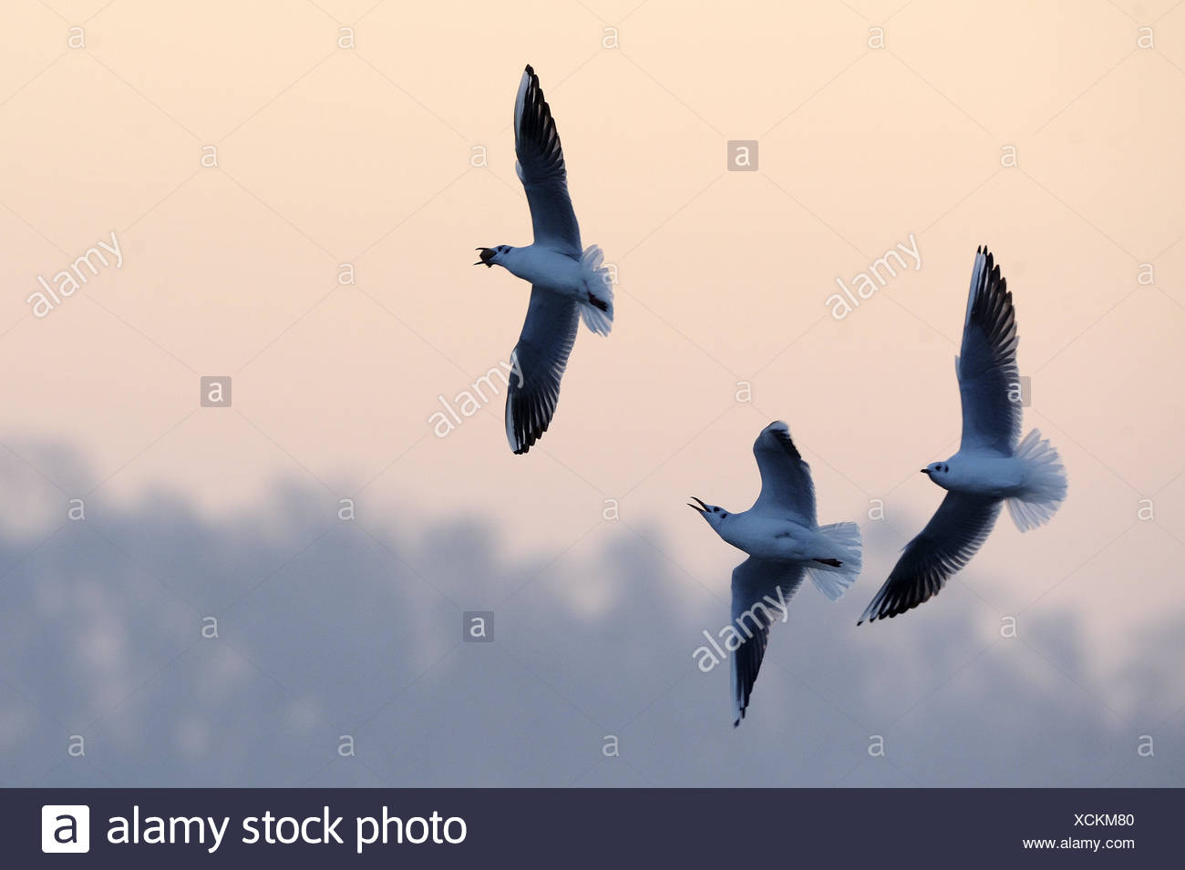 Black-headed gulls, Larus ridibundus, three, fly, hunt, food, nature, animals, birds, gulls, wings, stretched out, flapping of wings, flight, blur, whole body, envy, jealousy, evening light, - Stock Image