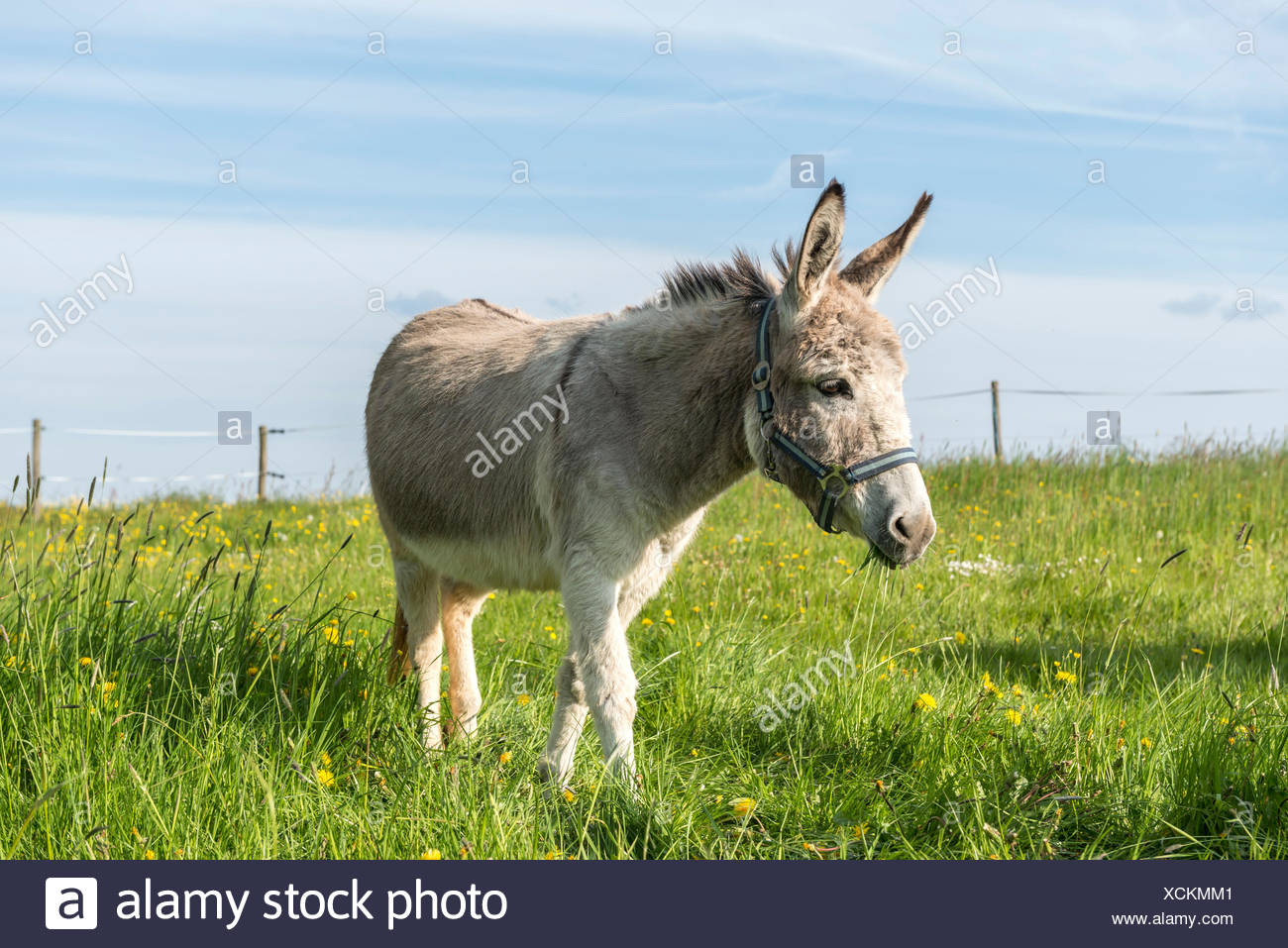 Weiten-Gesäß. Hessen, Germany, domestic donkey on pasture Stock Photo