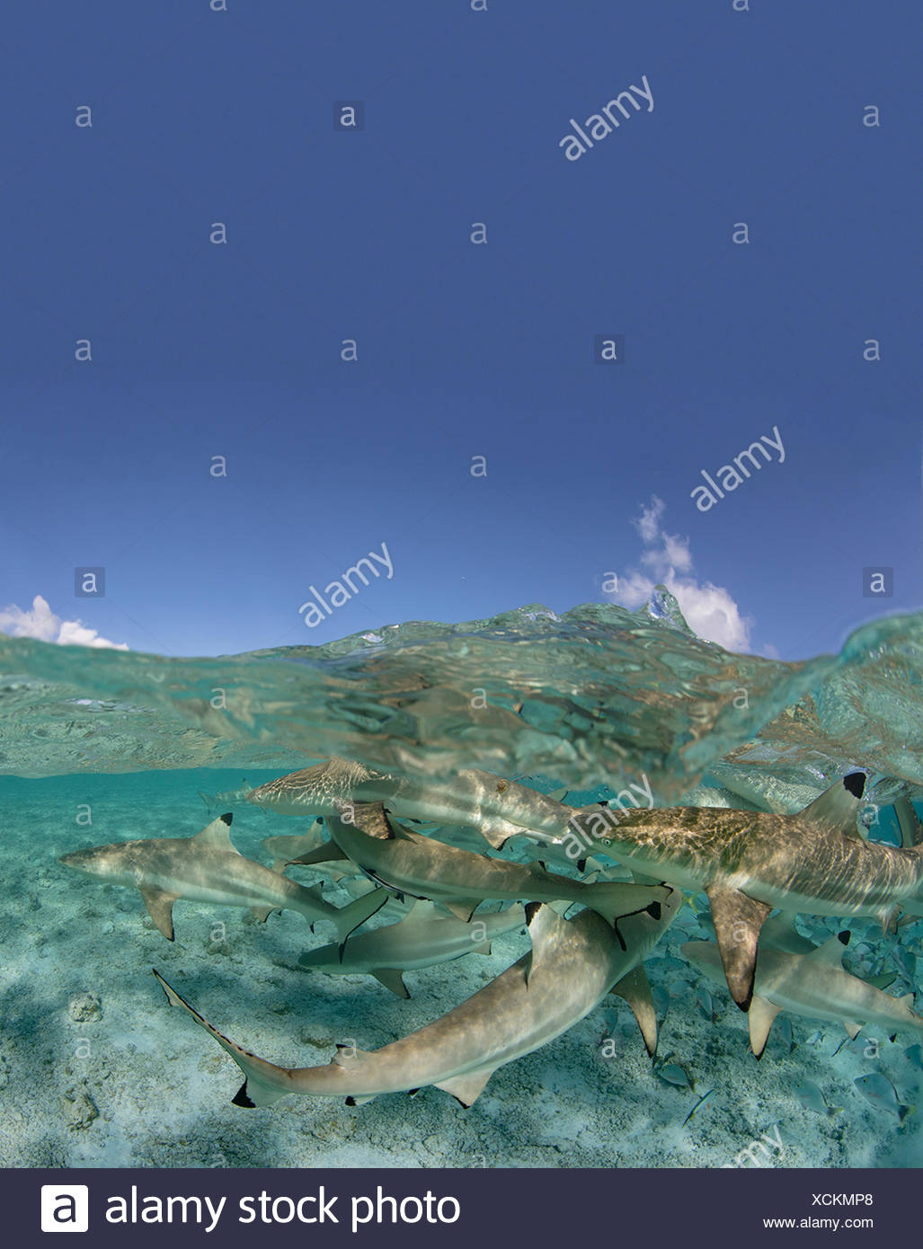 Over/under of Blacktip reef sharks in a lagoon, French Polynesia. Stock Photo