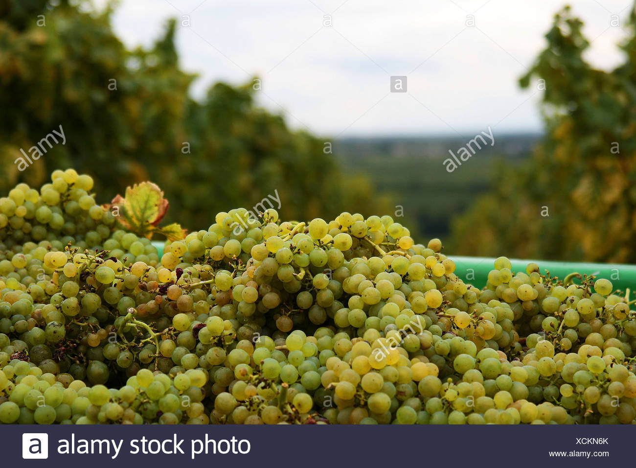 White grapes after the grape gathering, Southern Palatinate, Palatinate, Rhineland-Palatinate, Germany Stock Photo
