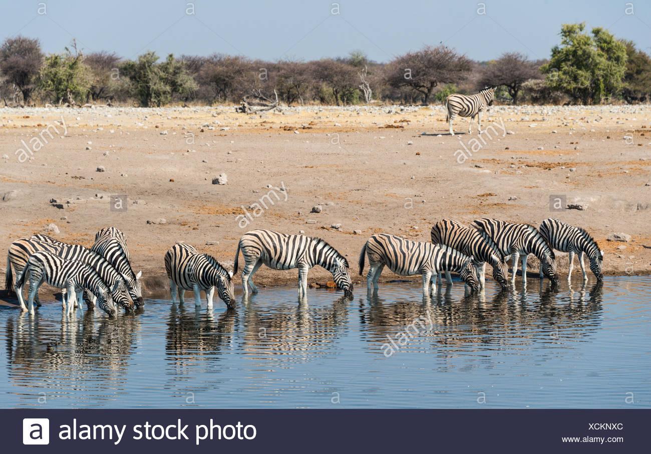 Herd of Burchell's Zebras (Equus burchellii) drinking, Chudop water hole, Etosha National Park, Namibia Stock Photo