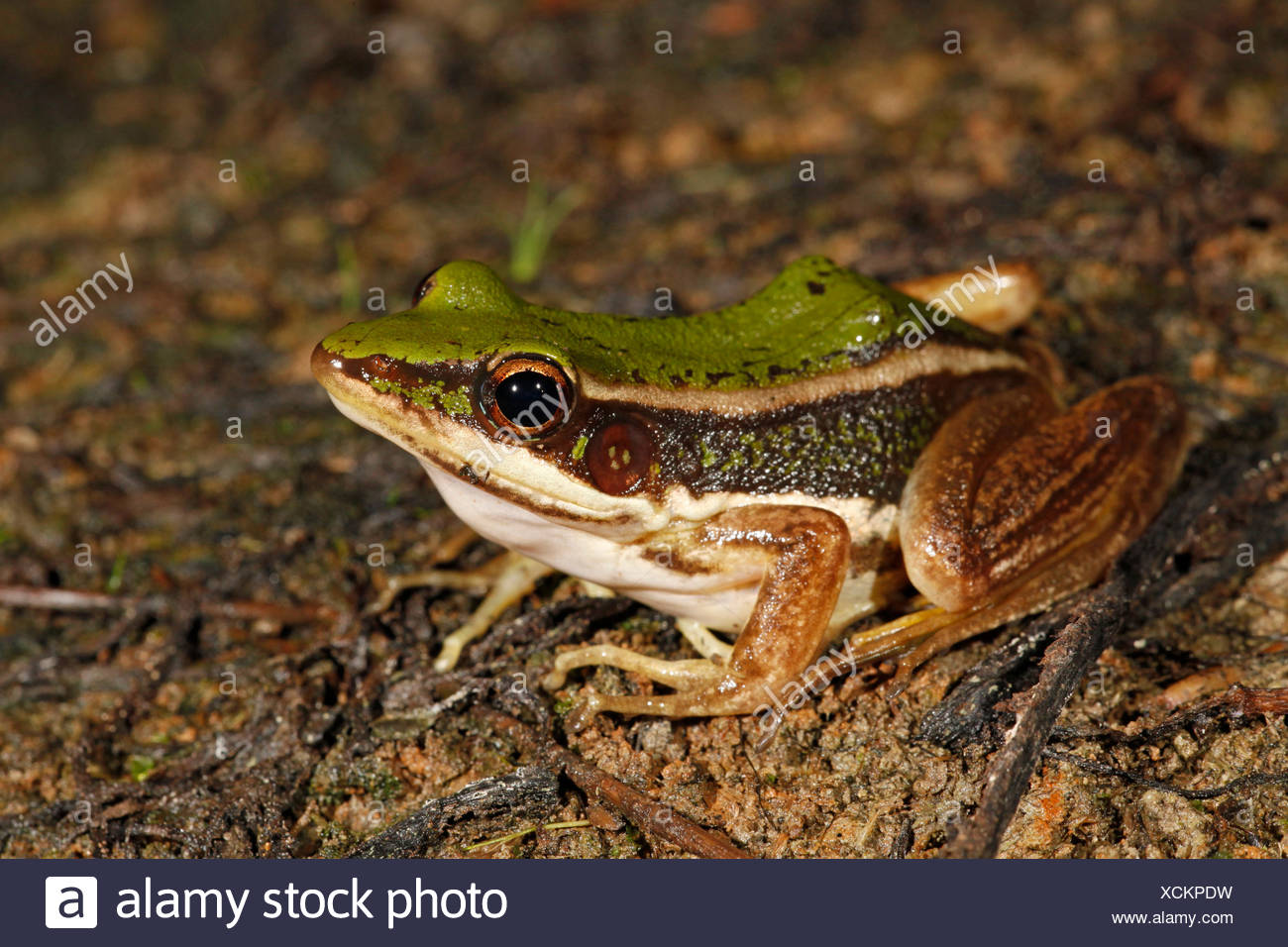 photo of an adult green paddy frog - Stock Image