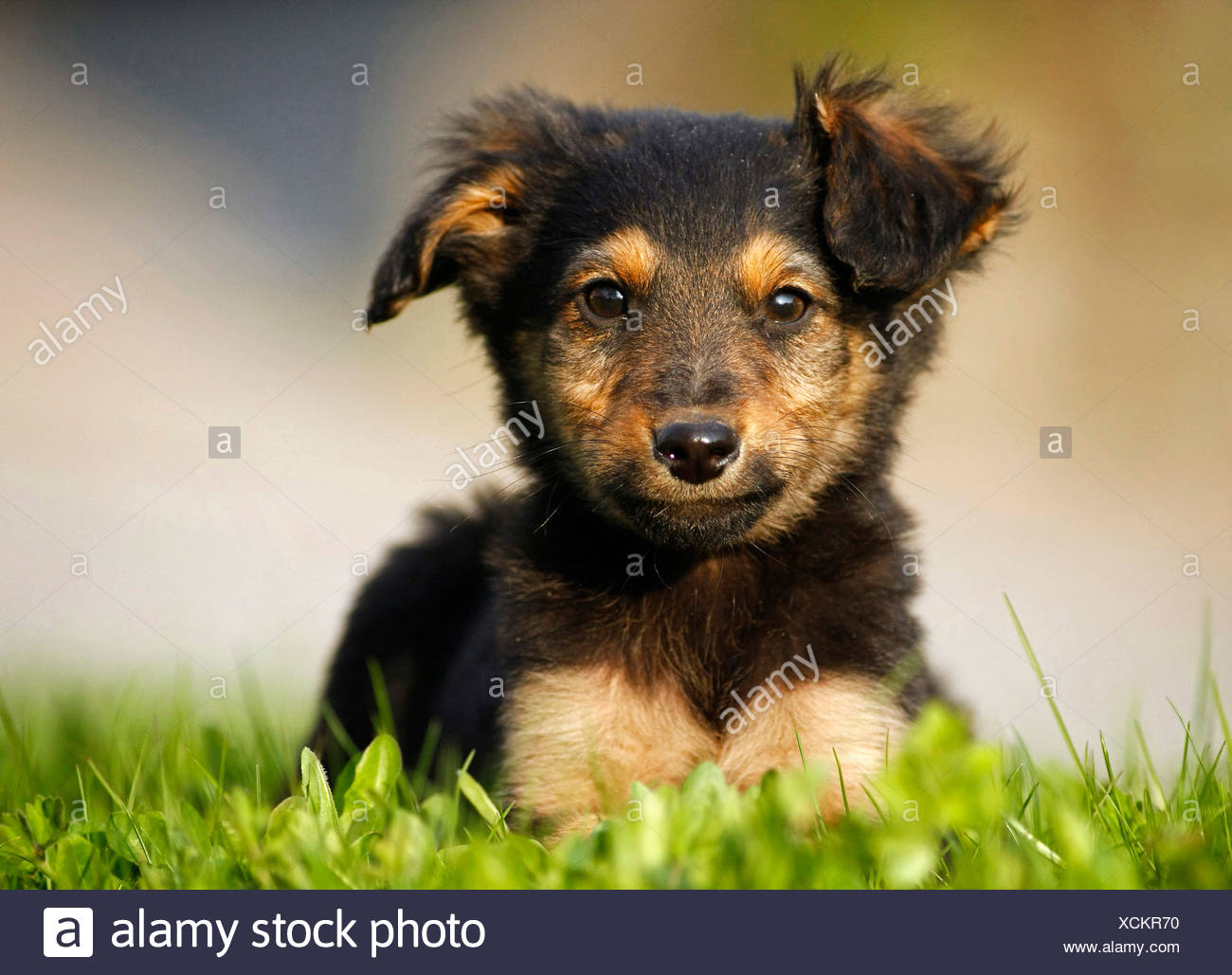 mixed breed dog (Canis lupus f. familiaris), whelpe lying in a meadow, mix breed dog of Old German Sheepdog and dachshund, Germany - Stock Image