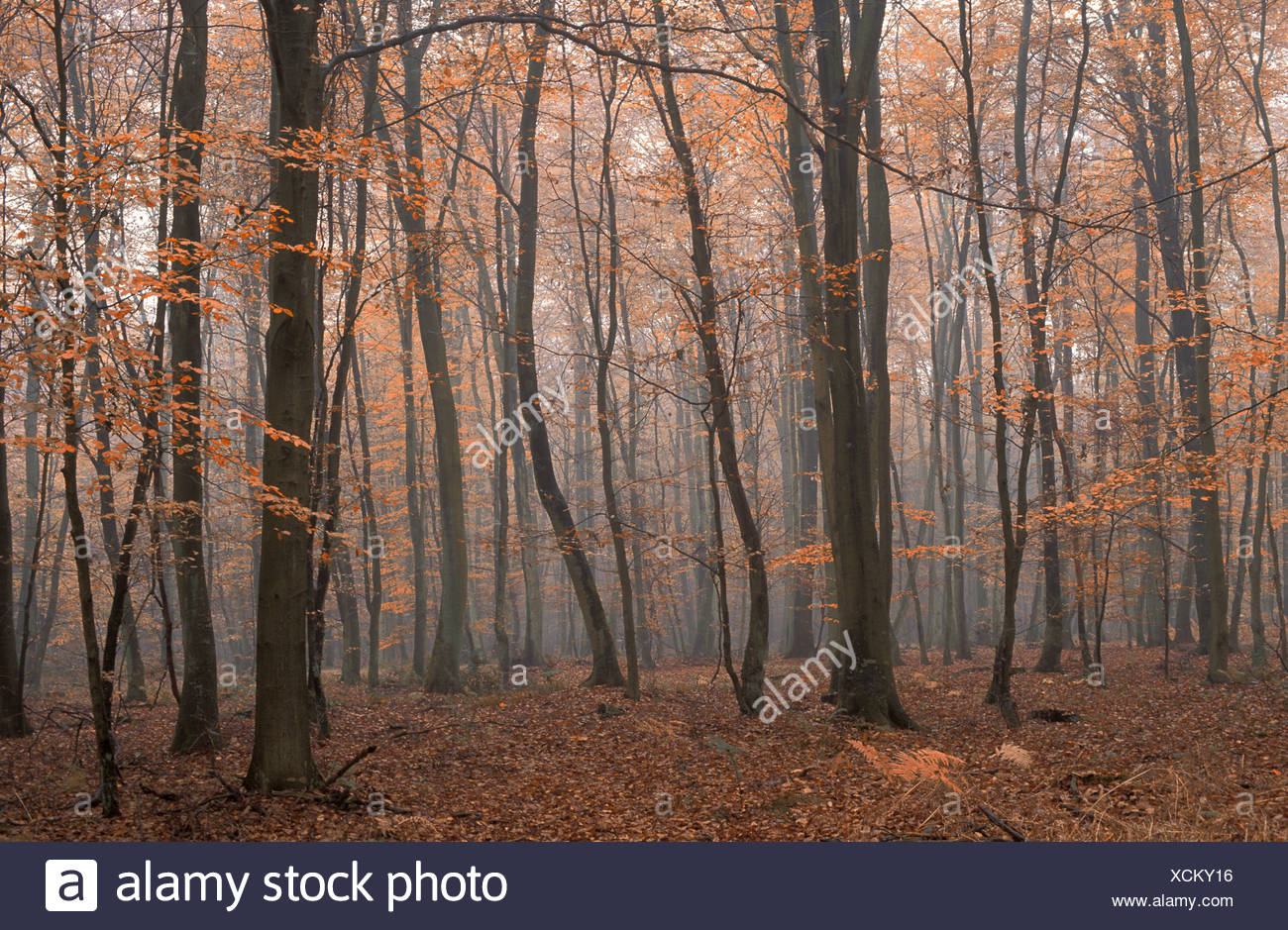 Beech Tree Forest, near St. Saens, Normandy, France, Europe, forest, trees, wood - Stock Image