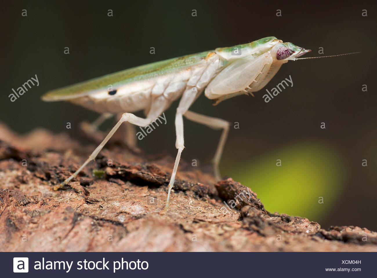 Gambian Spotted-eye Flower Mantis (Pseudoharpax virescens), female - Stock Image