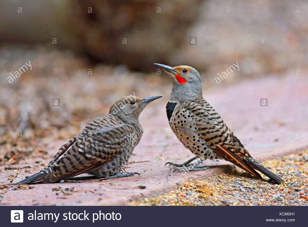 Common flicker (Colaptes auratus), adult and juvenile bird sitting on the ground, Canada, Alberta, Banff National Park - Stock Image