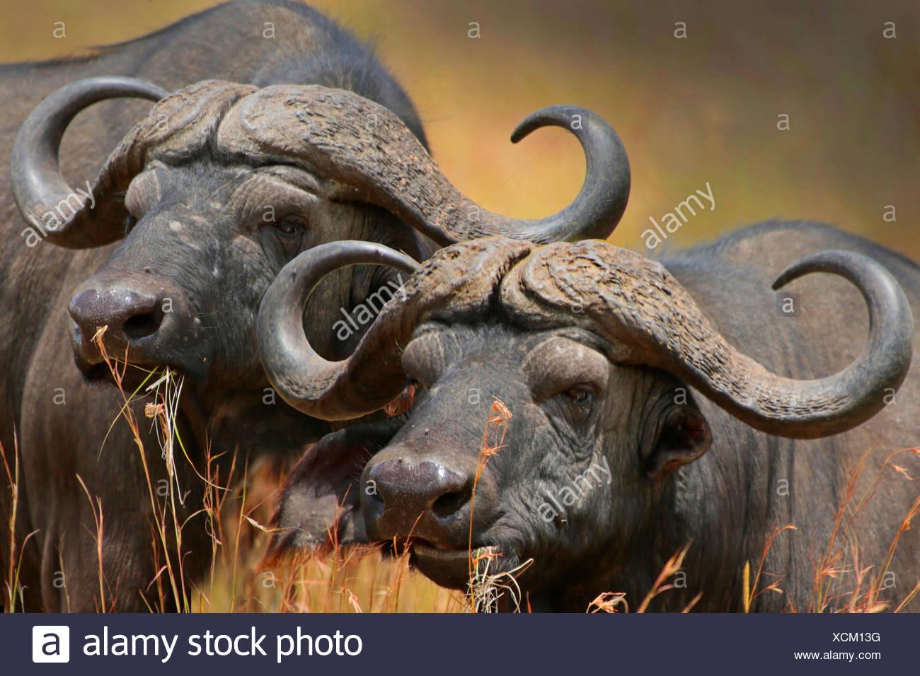 African buffalo (Syncerus caffer), portrait of two buffalos, Kenya, Masai Mara National Park - Stock Image
