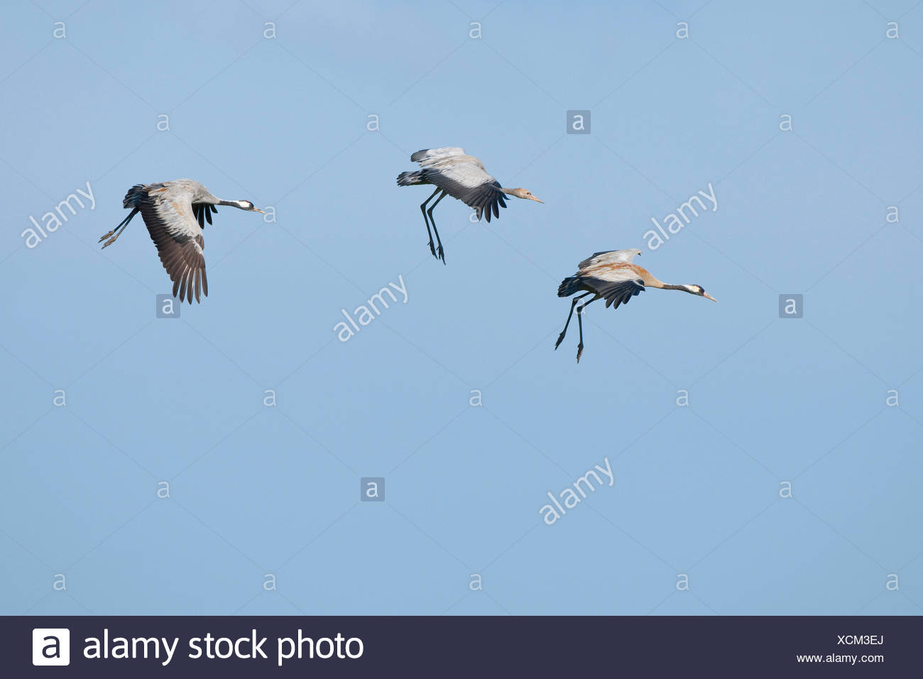 Common Cranes (Grus grus), two adult birds and a young bird, about to land, Mecklenburg-Western Pomerania, Germany Stock Photo