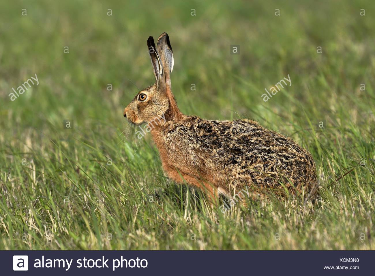 European hare (Lepus europaeus), located in Wiese, Lake Neusiedl National Park, Burgenland, Austria - Stock Image
