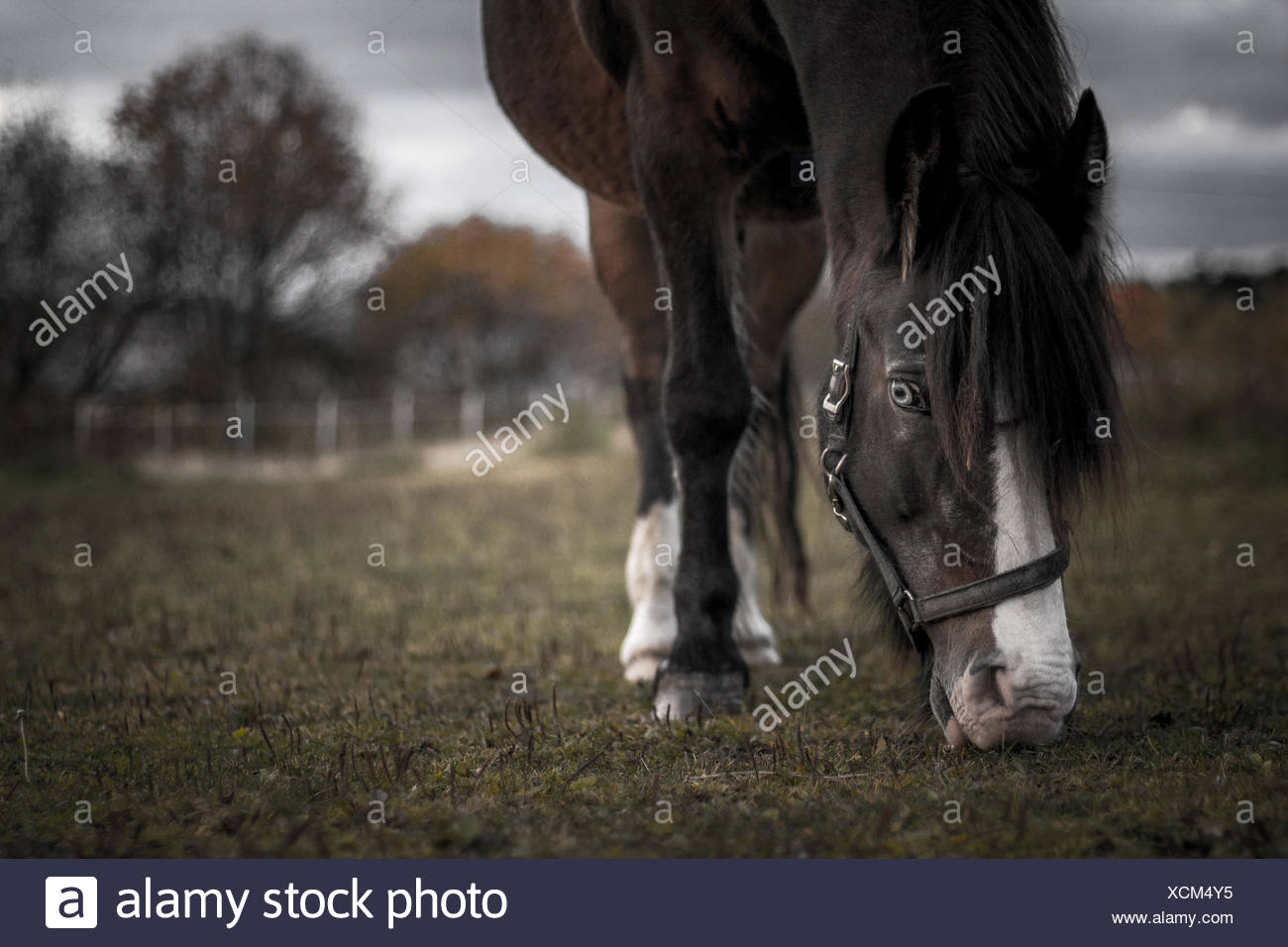 Norway, Horse grazing in pasture Stock Photo