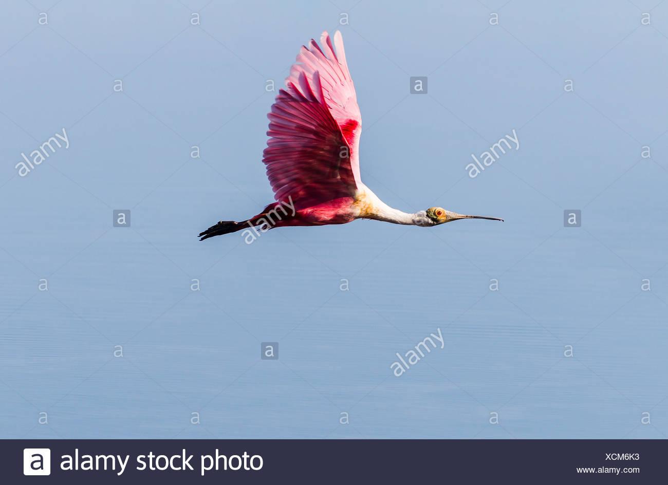 Roseate Spoonbill (Ajaia ajaja) in flight, Ding Darling National Wildlife Refuge, Sanibel Island, Florida, USA - Stock Image