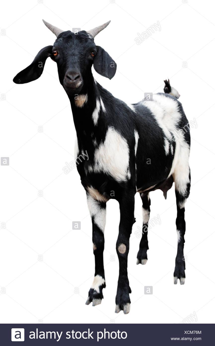 Boer Goat Stock Photos & Boer Goat Stock Images - Alamy One Goat White Background