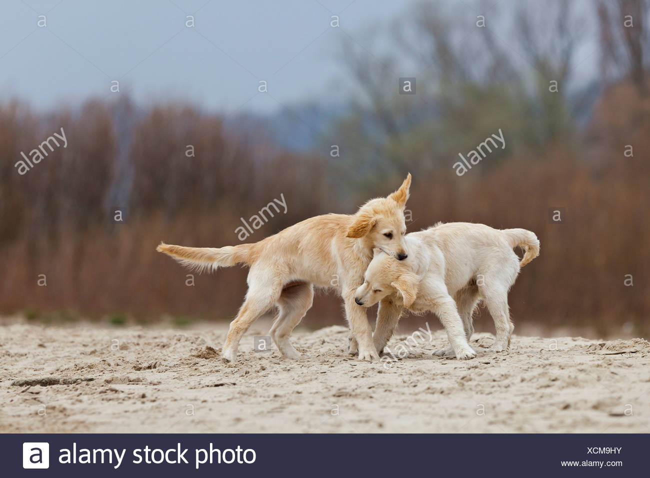 Two young Golden Retrievers playing on beach - Stock Image