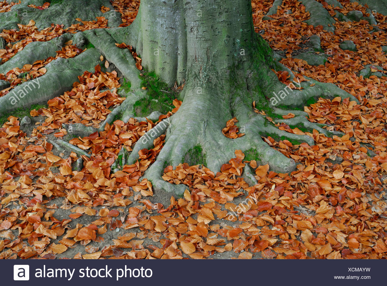 European Beech (Fagus sylvatica) roots surrounded by autumn foliage - Stock Image