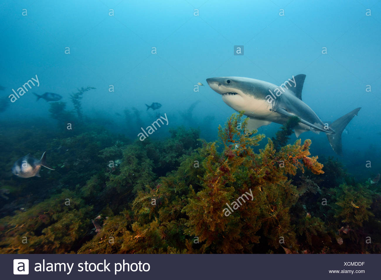 A great white shark swims in waters off the Neptune Islands. - Stock Image