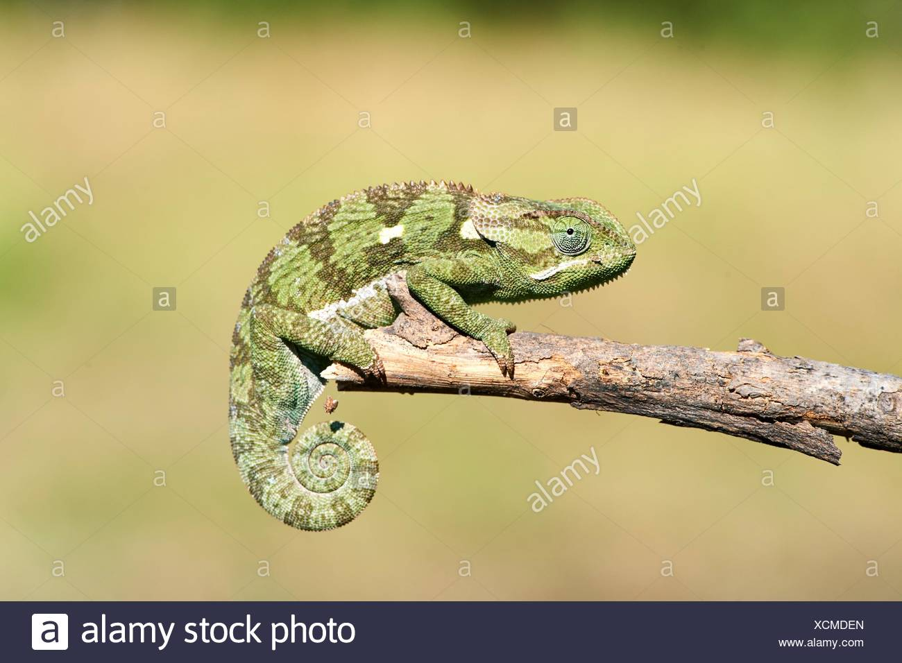 Flap necked chameleon (Chamaeleo dilepis), Moremi National Park, Okavango Delta, Botswana, Southern Africa. - Stock Image
