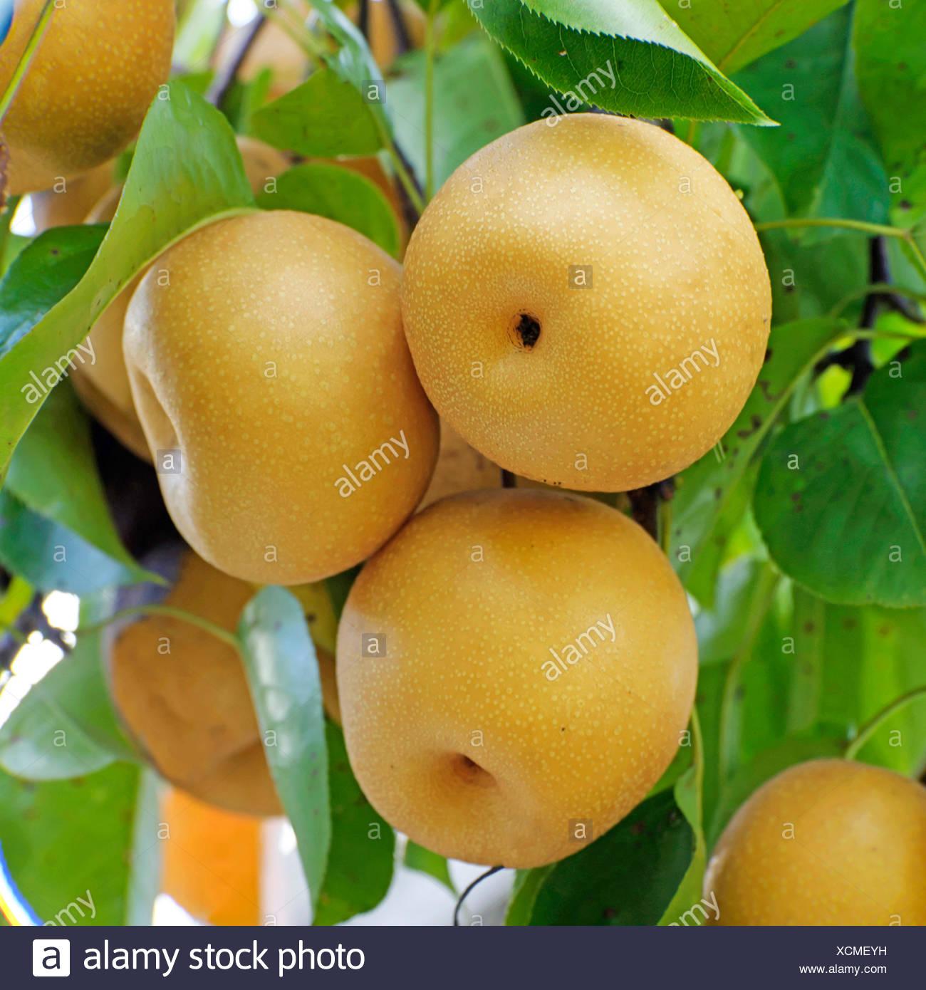 Shinseiki Asian pear, Asian pear, Nashi Pear (Pyrus pyrifolia 'Hosui',